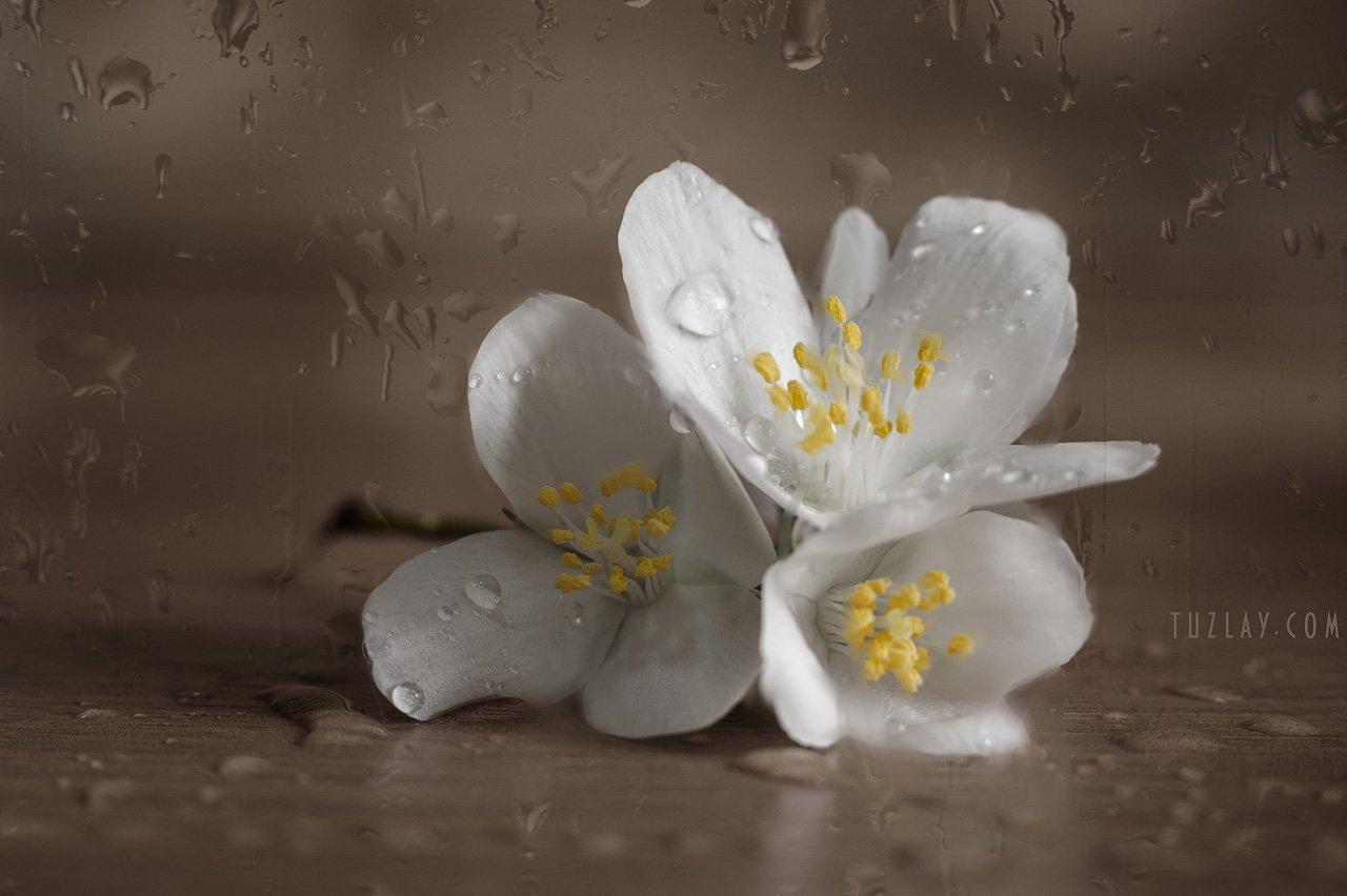 цветки жасмина, садовый жасмин, чубушник, капельки, Владимир Тузлай