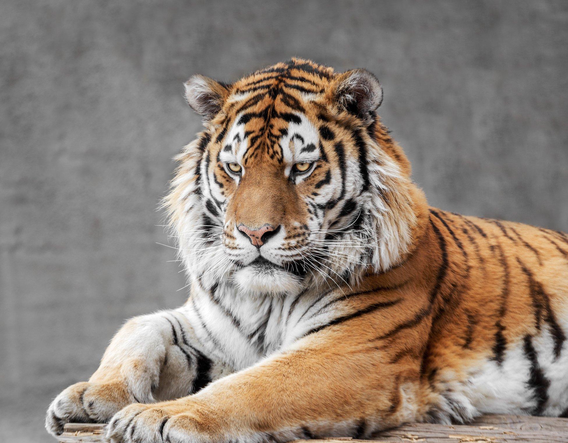 амурский тигр, Олег Богданов