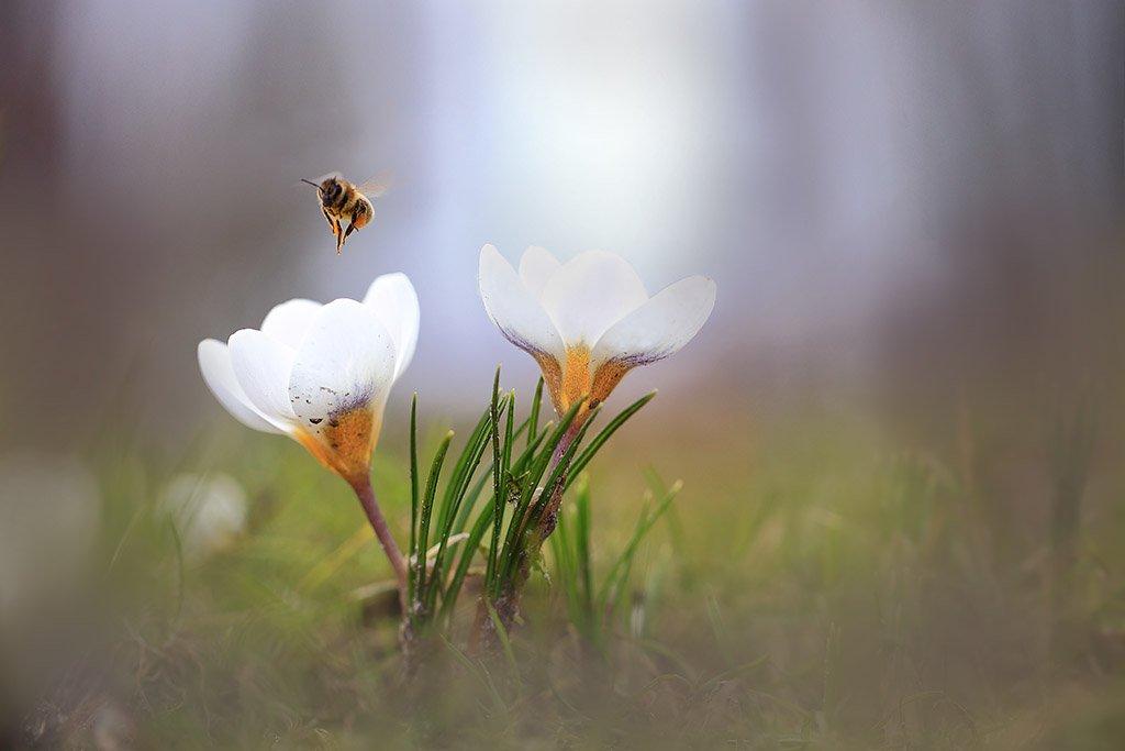 Весна,парк,цветы,пчела,крокус., Виктор Шнайдер
