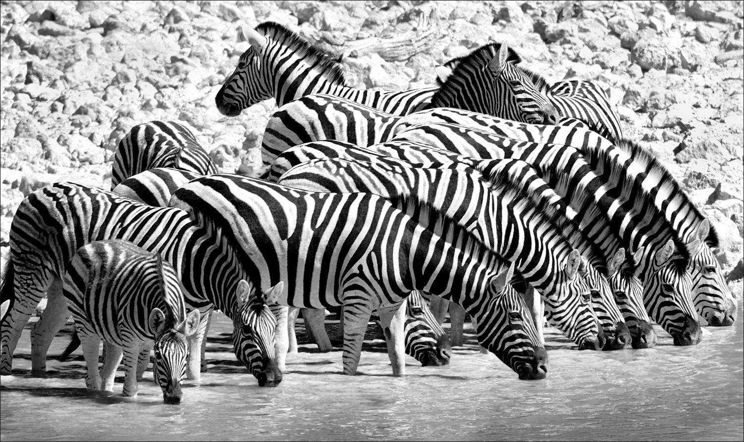 зебры, африка, путешествие, черно-белая, чб, zebras, africa, travel, black and white, bw, Вера