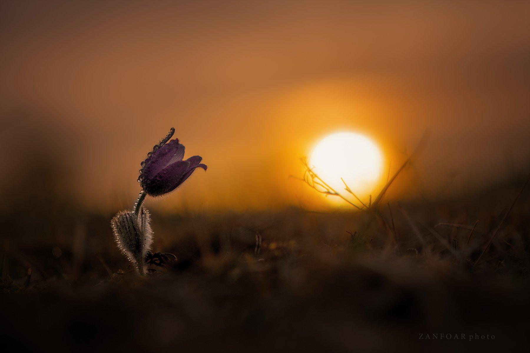pulsatilla grandis,бархатный цветок,закат, пейзаж, природа, цветок, zanfoar, макро, чешская республика,czech republic, Zanfoar