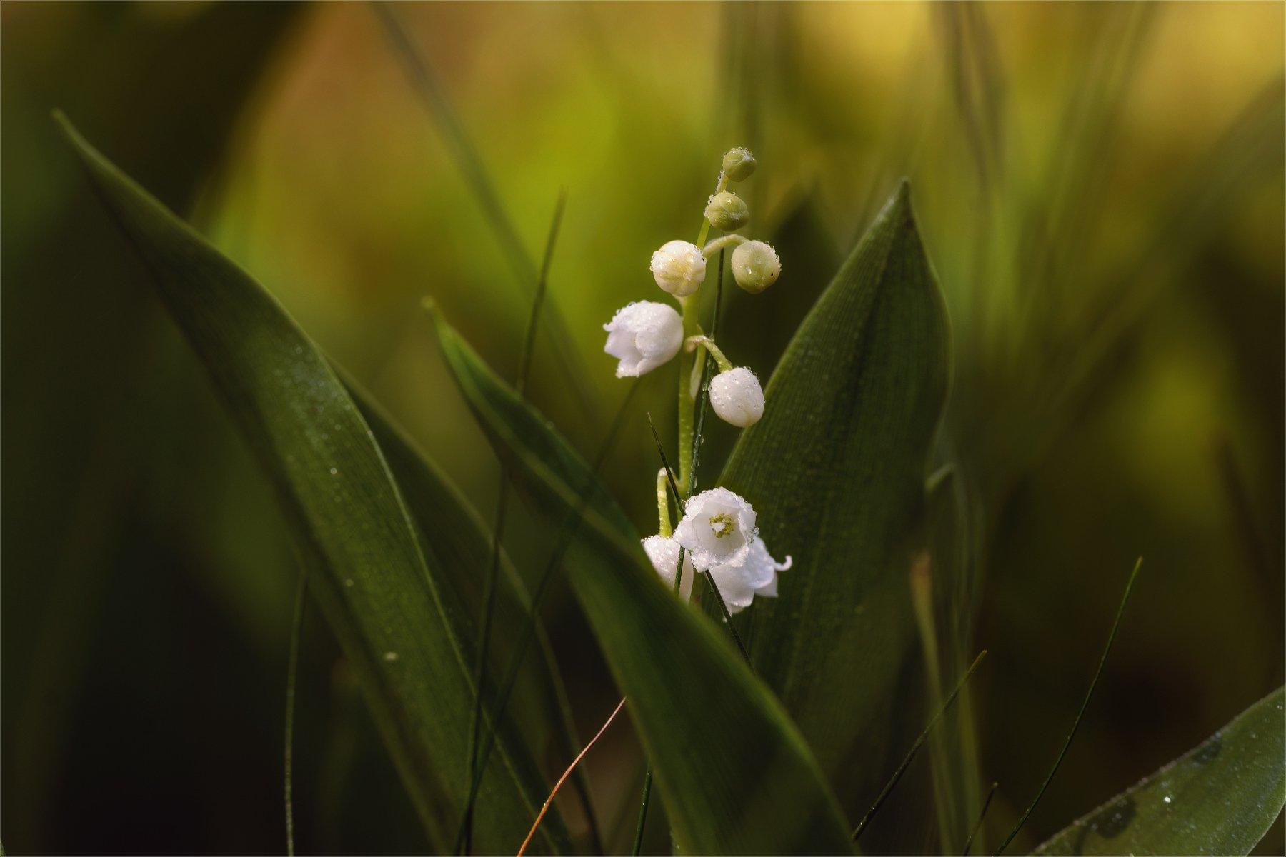nature, природа,  растение, листья,, солнечный свет, цветы, цветок, макро, цвести,  весна, красота,полевые цветы, ландыши, аромат, Михаил MSH