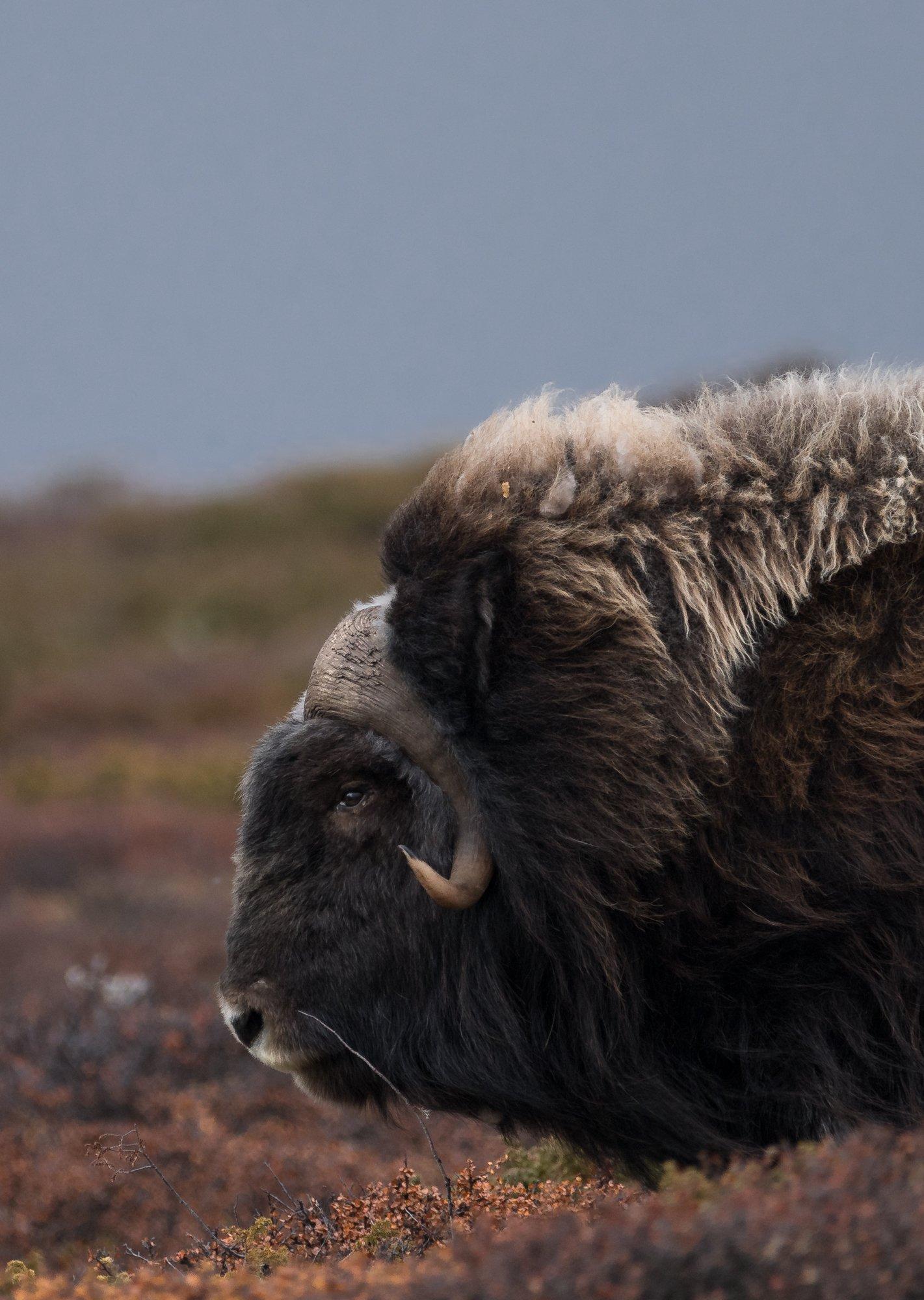 musk ox, animals, norway, dovre, landscape, autumn, Sylwia Grabinska