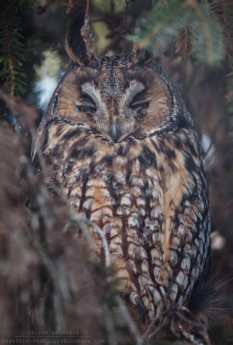 owl, wildlife, wildlife photography, анималистика, сова, фотоохота, birds, nature, птицы, Snowrain