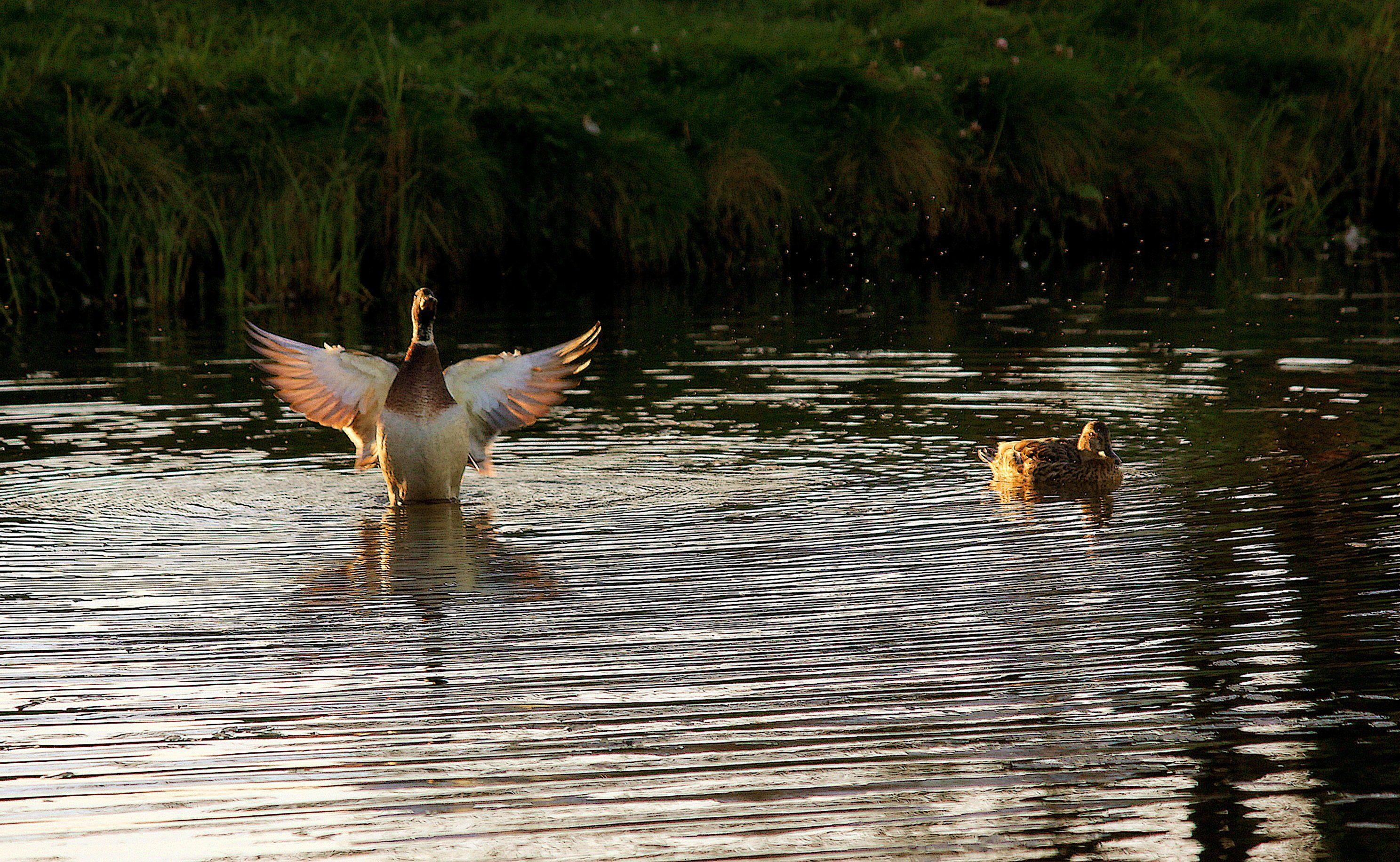 птицы, утки, озеро, кряквы, Влада Андрюнина