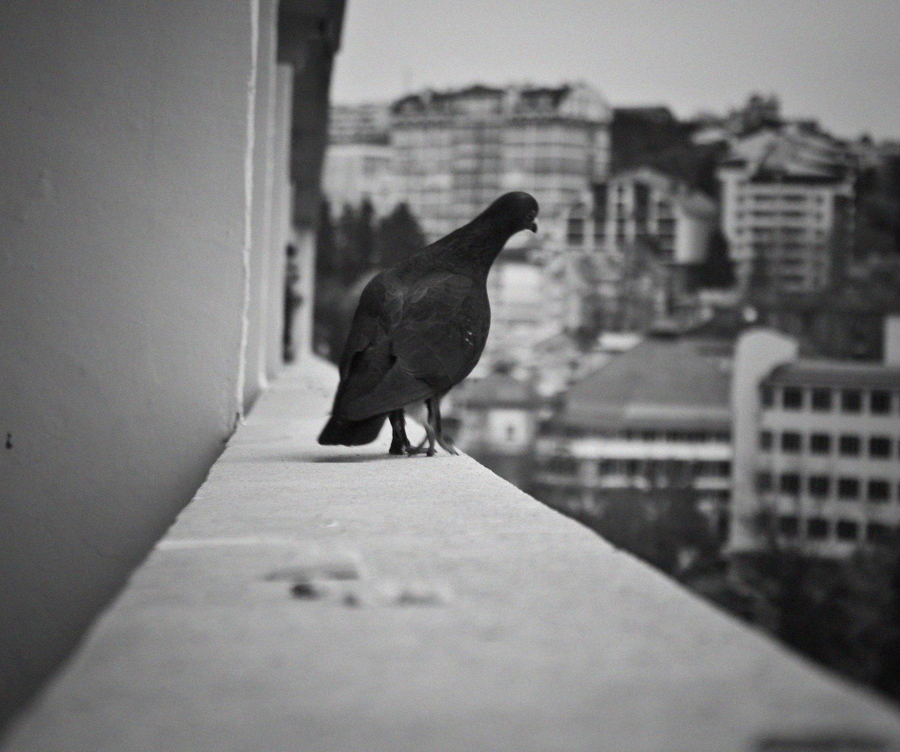 сочи, голуби, голубь, любопытство, птица, птицы, Vladimir Kedrov