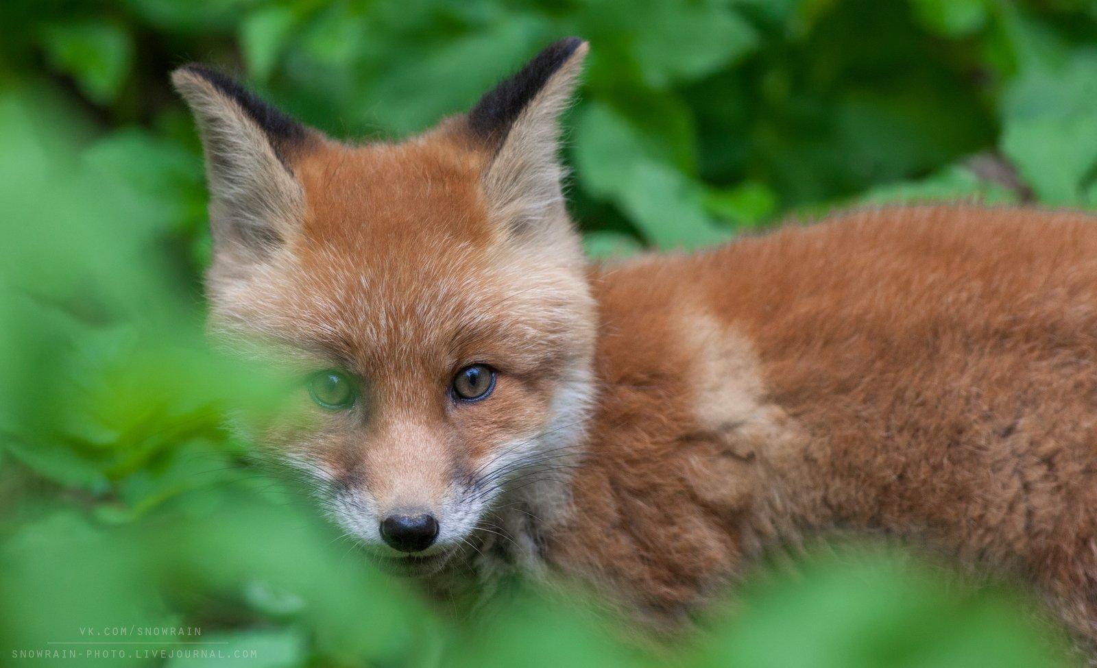 лиса, фотоохота, анималистика, дикая природа, природа, лес, животные, nature, wildlife, fox, animal, wildlifephoto, Snowrain