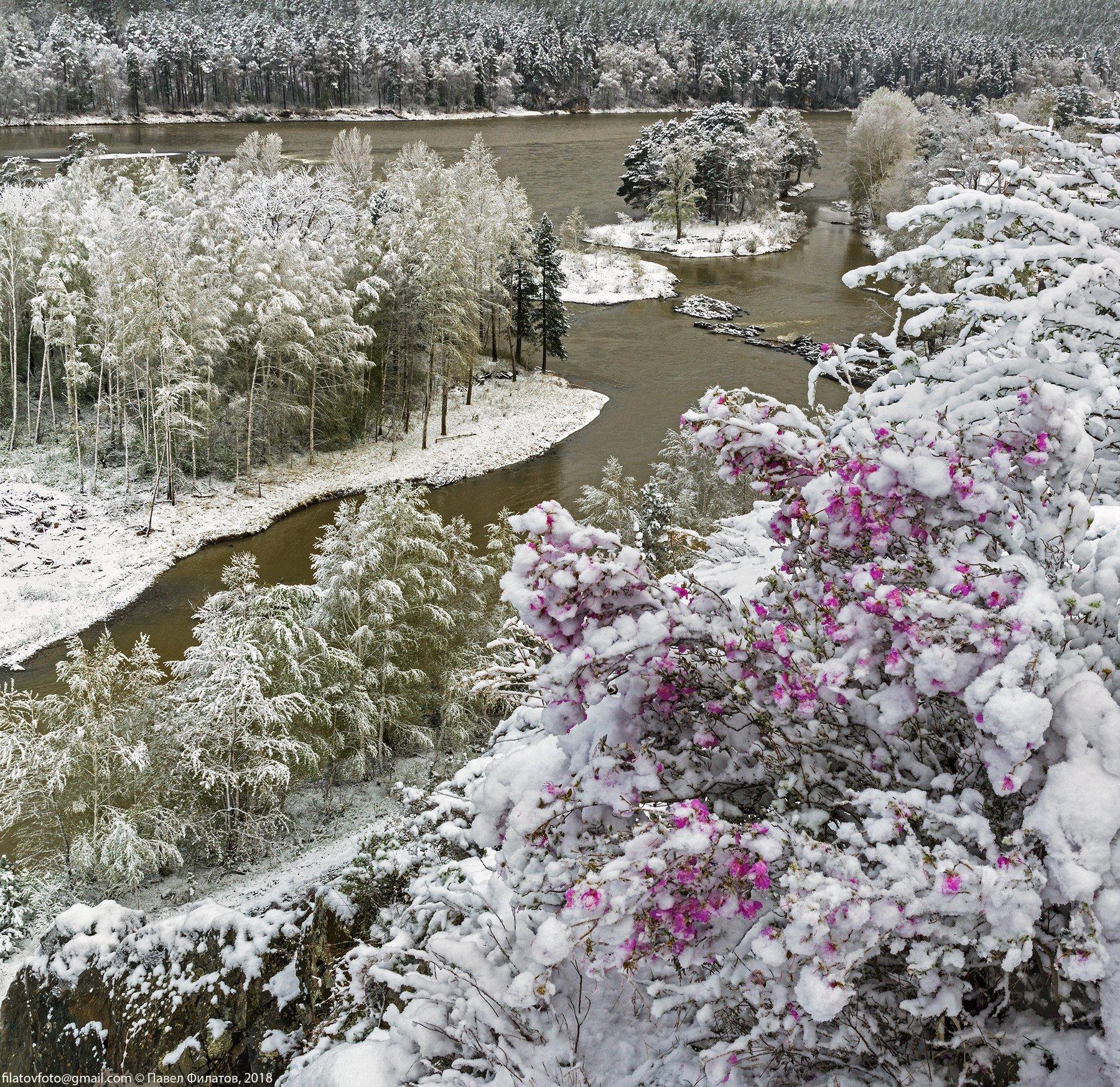алтай, сибирь, снег, весна, маральник, рододендрон, цветение, катунь, Павел Филатов