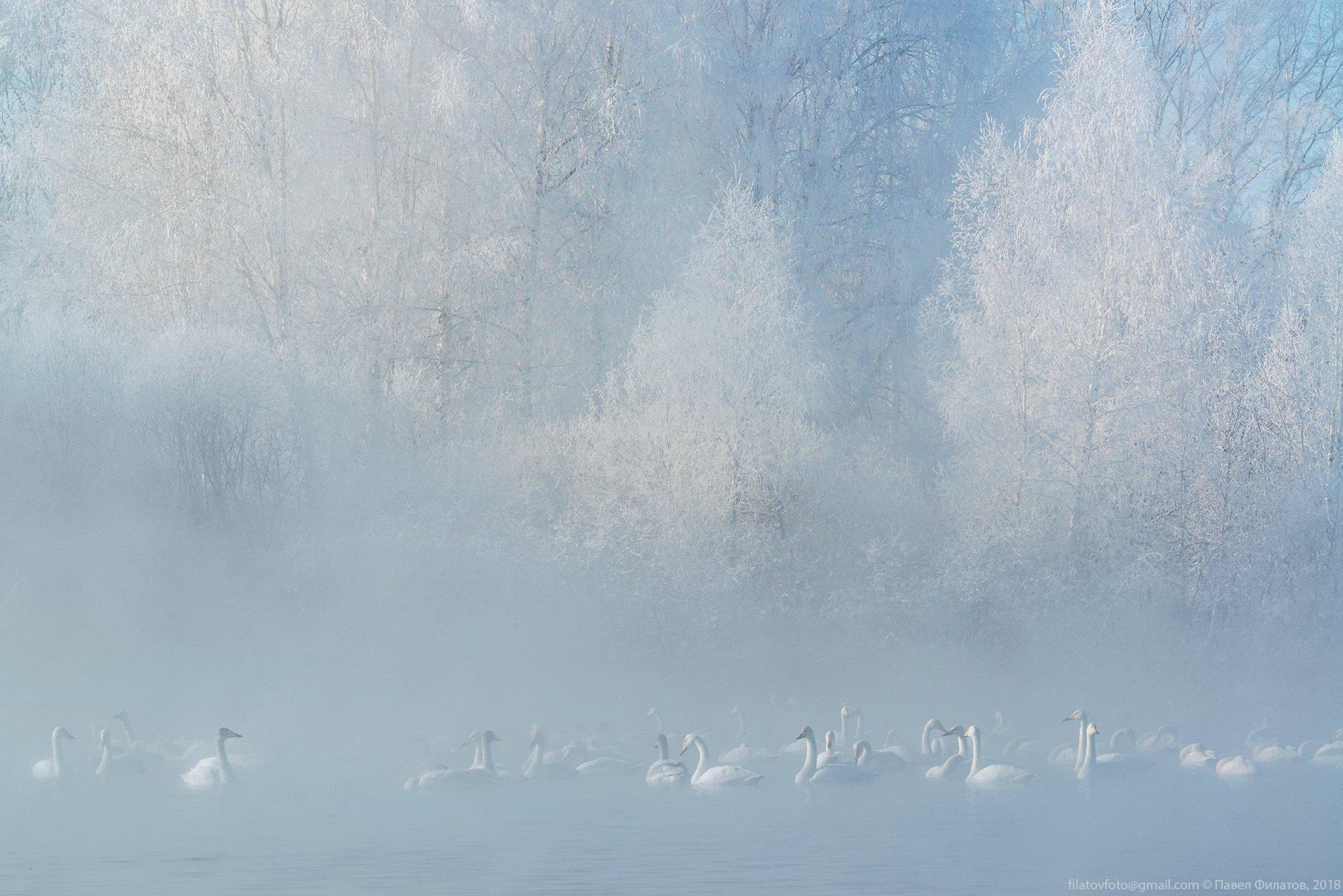 алтай, сибирь, лебеди, зима, мороз, стужа, светлое, лебединое, иней, туман, Павел Филатов