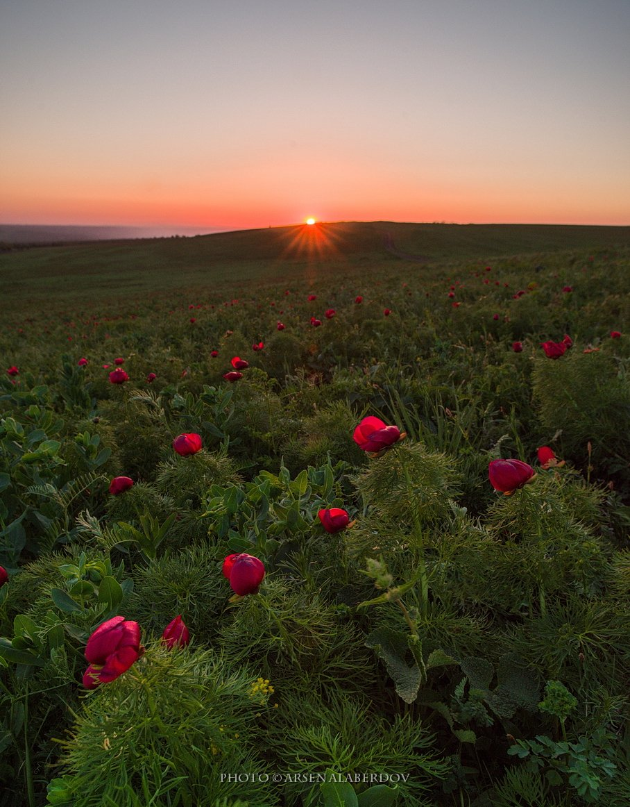 весна, поле, холмы, равнина, долина, утро, вечер, карачаево-черкесия, кавказ, простор, закат, солнце, цветы, пионы, лохмачи, АрсенАл