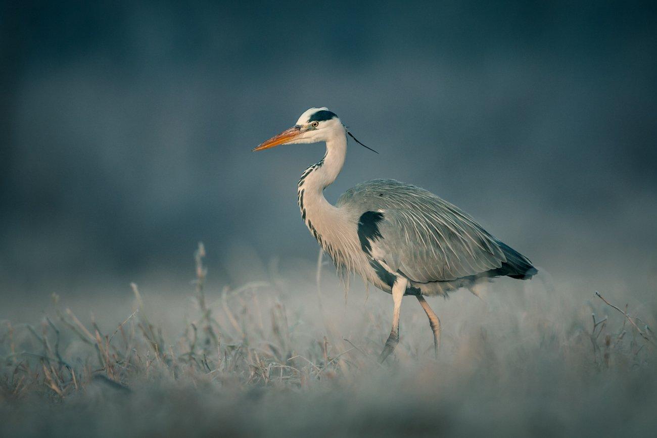 winter, snow, wildlife, animls, bird, heron, egret, poland, cold, frozen, Adam Fichna