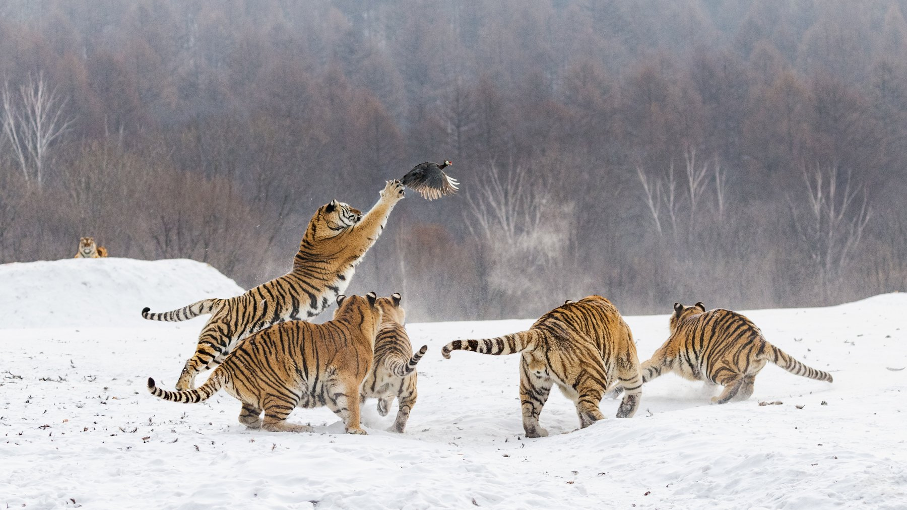 уссурийские тигры, охота, китай, Алексей Сулоев