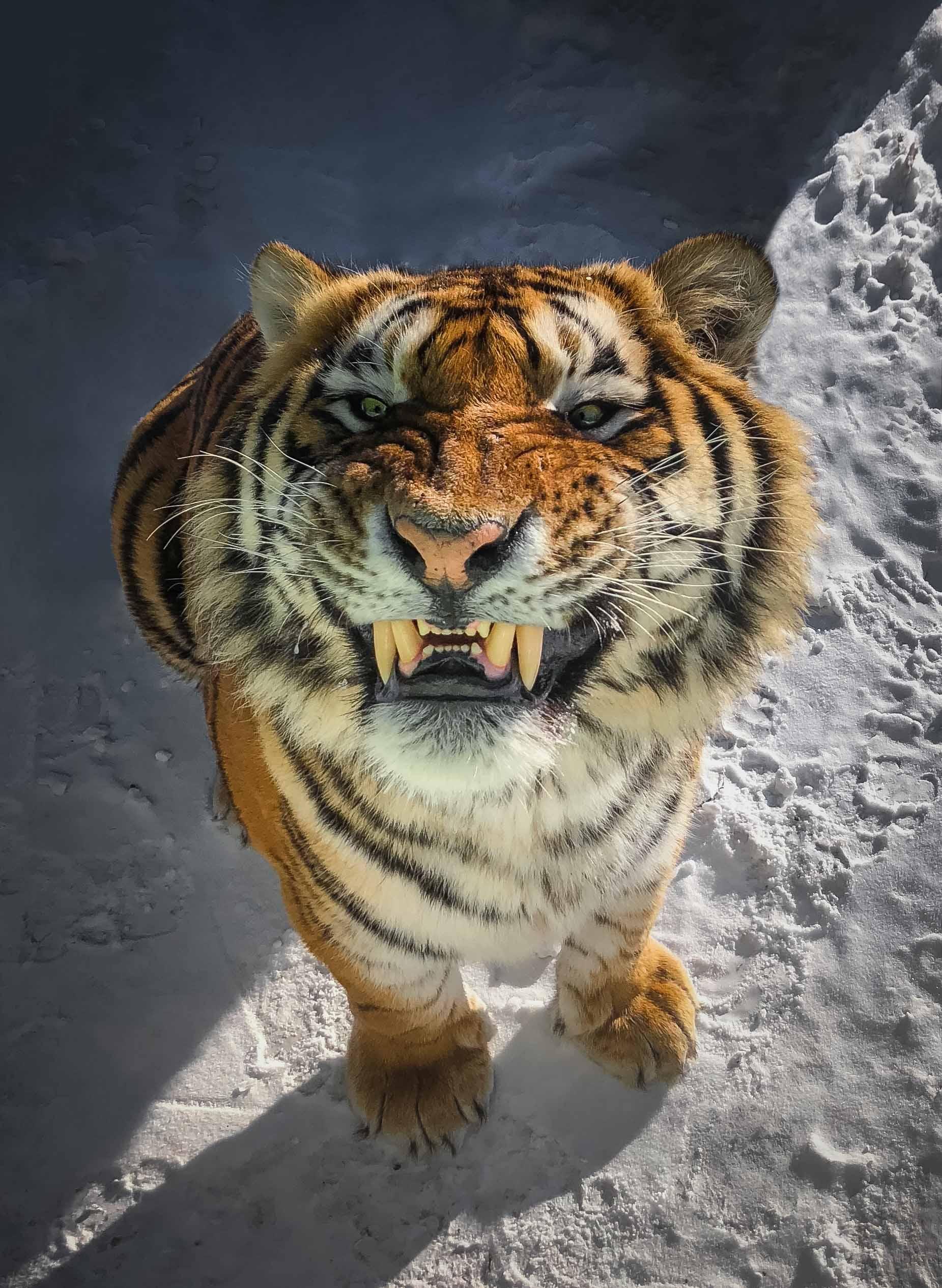 амурский, тигр, Алексей Сулоев