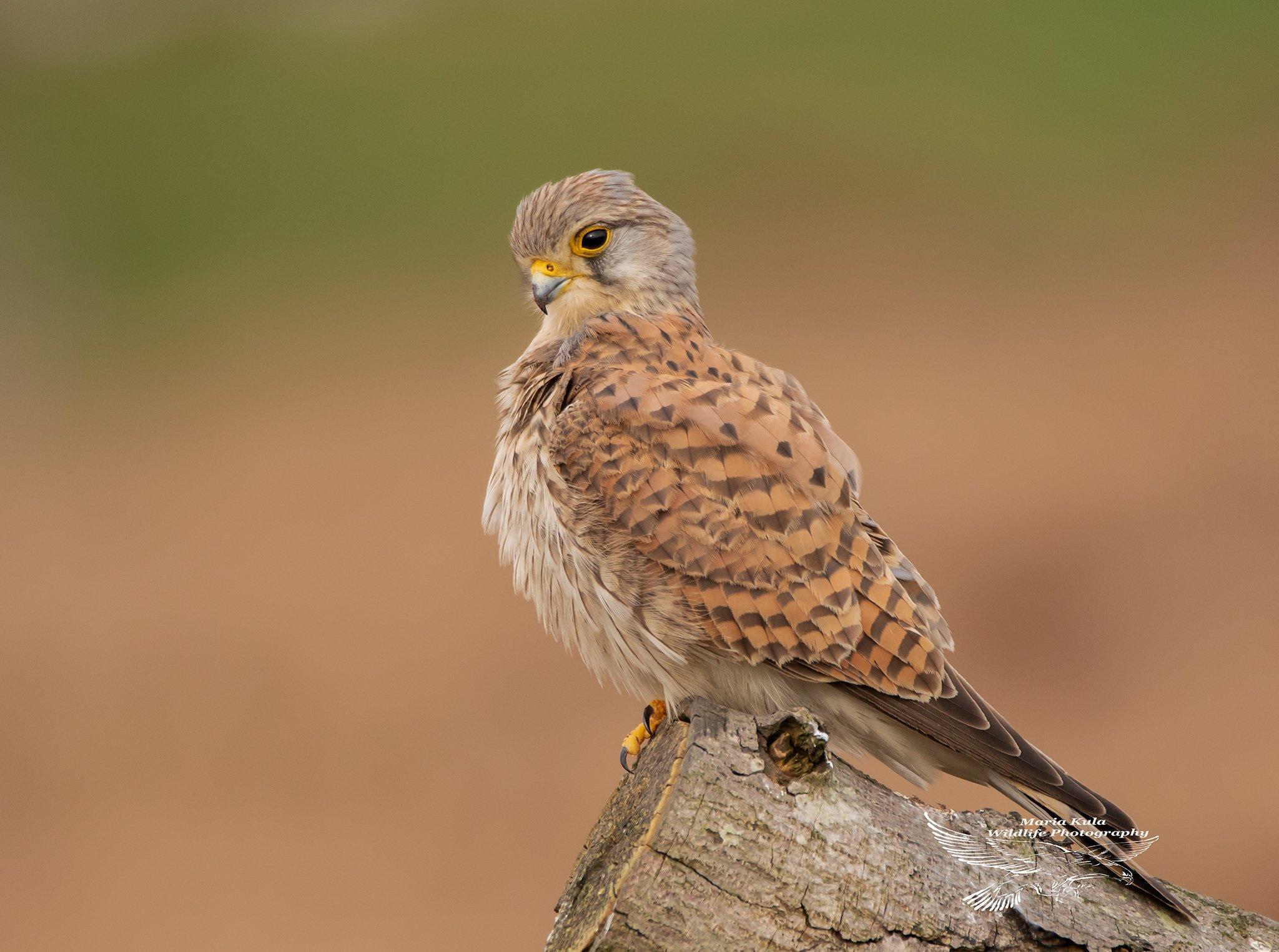 kesstrel, birds, birds of prey, nature, wildlife, woods, land, MARIA KULA
