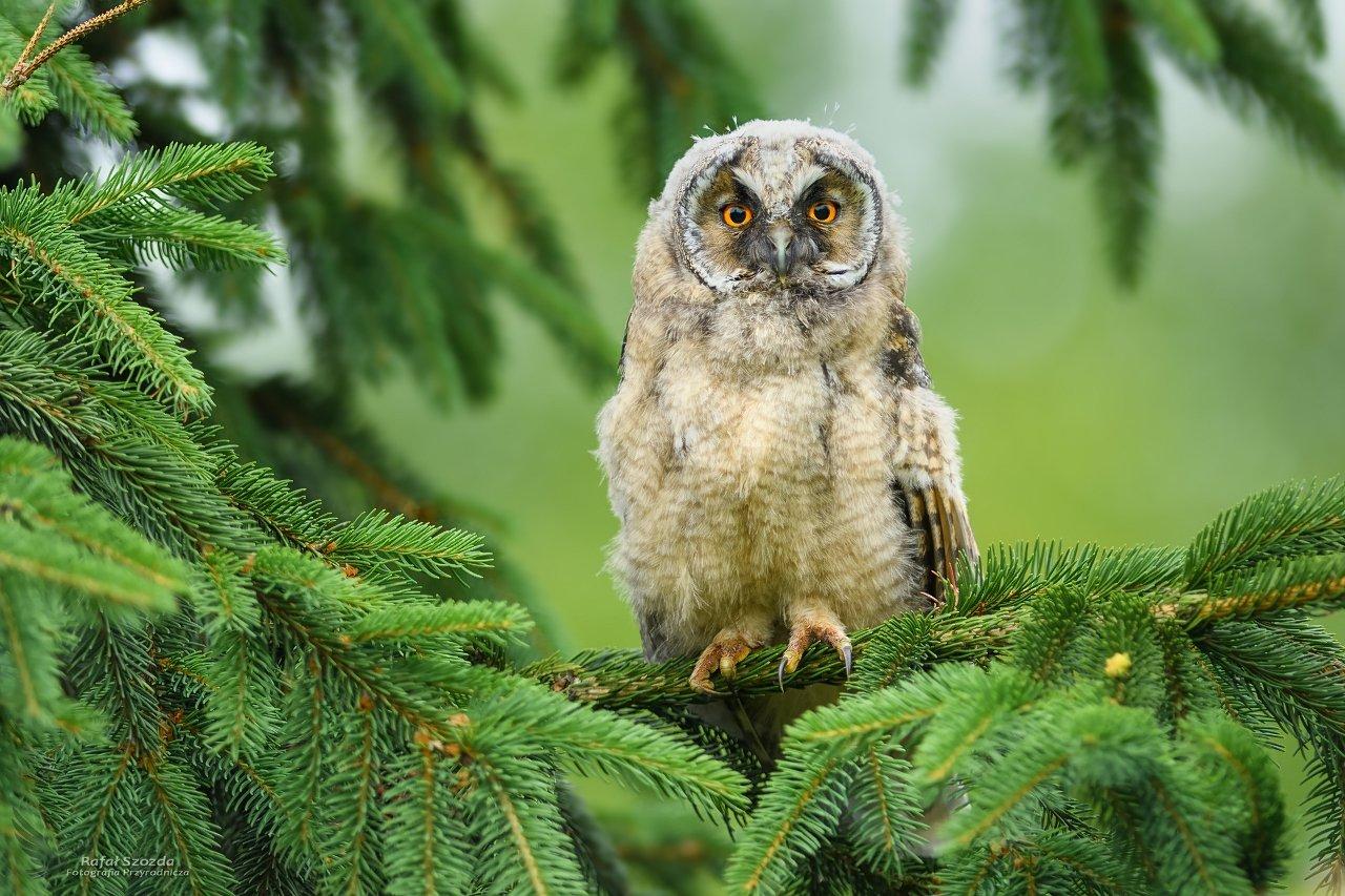 owl, birds, nature, animals, wildlife, colors, springs, nikon, nikkor, lens, tree, d500, nikkor300/2.8vr1, lubuskie, poland, Rafał Szozda