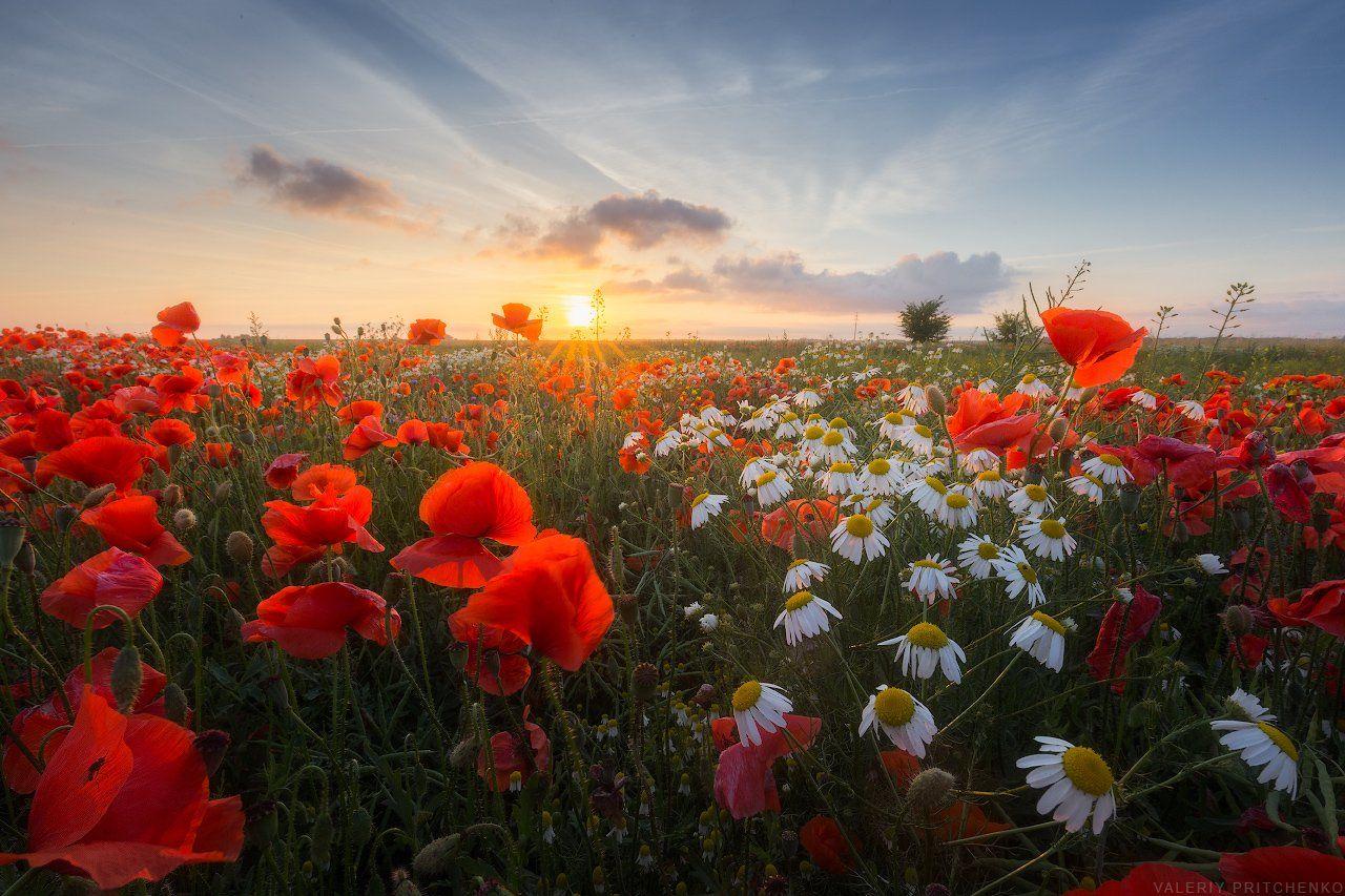 лето, маки, закат, пейзаж, poppies, sunset, landscape, summer, Валерий Притченко