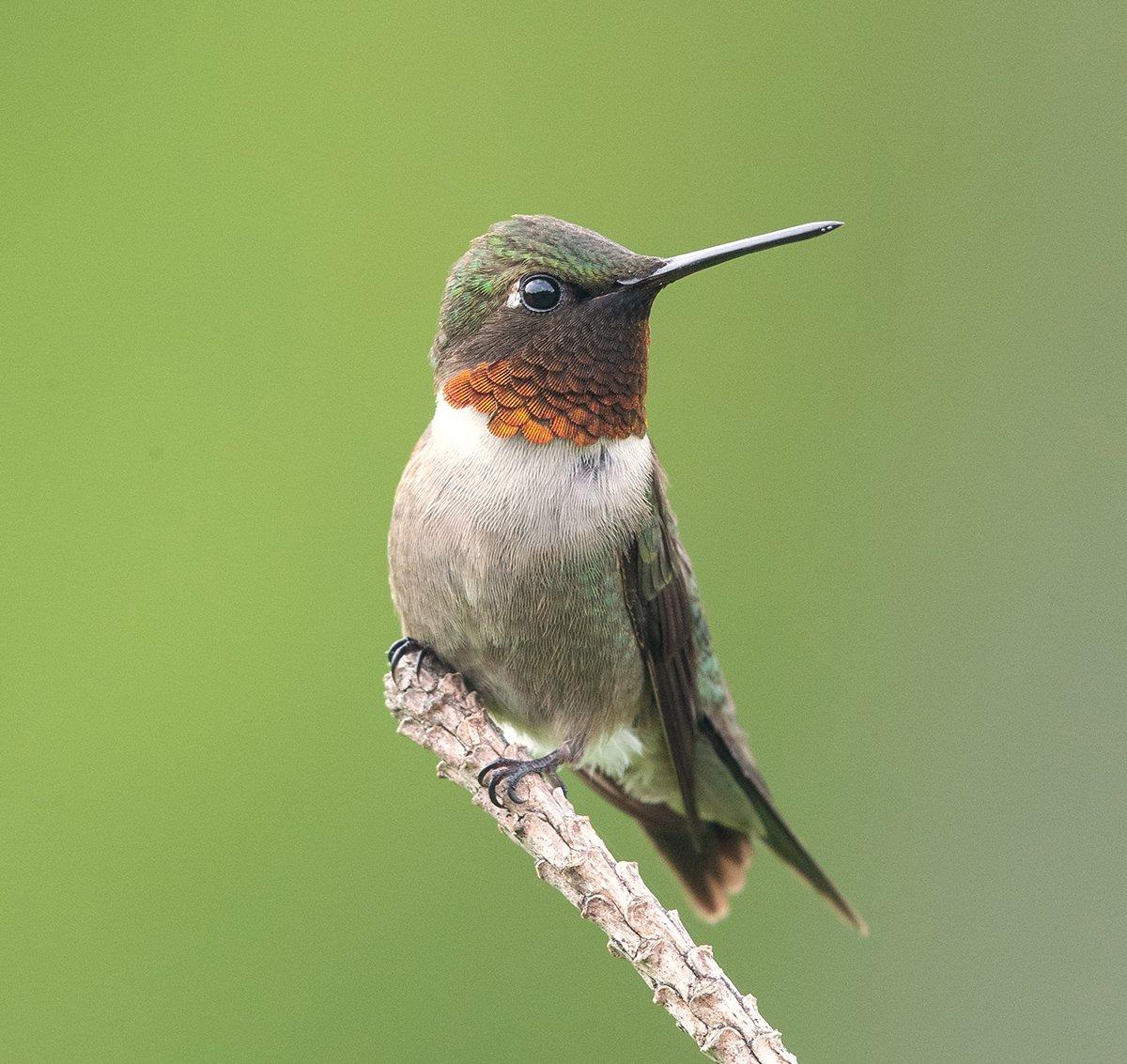колибри, hummingbird, Elizabeth E