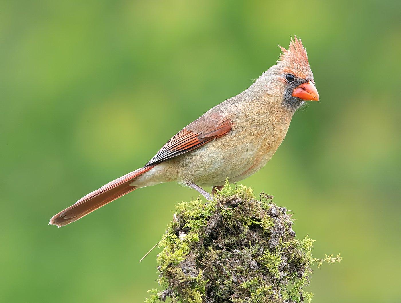 красный кардинал, northern cardinal,cardinal, кардинал, Elizabeth E