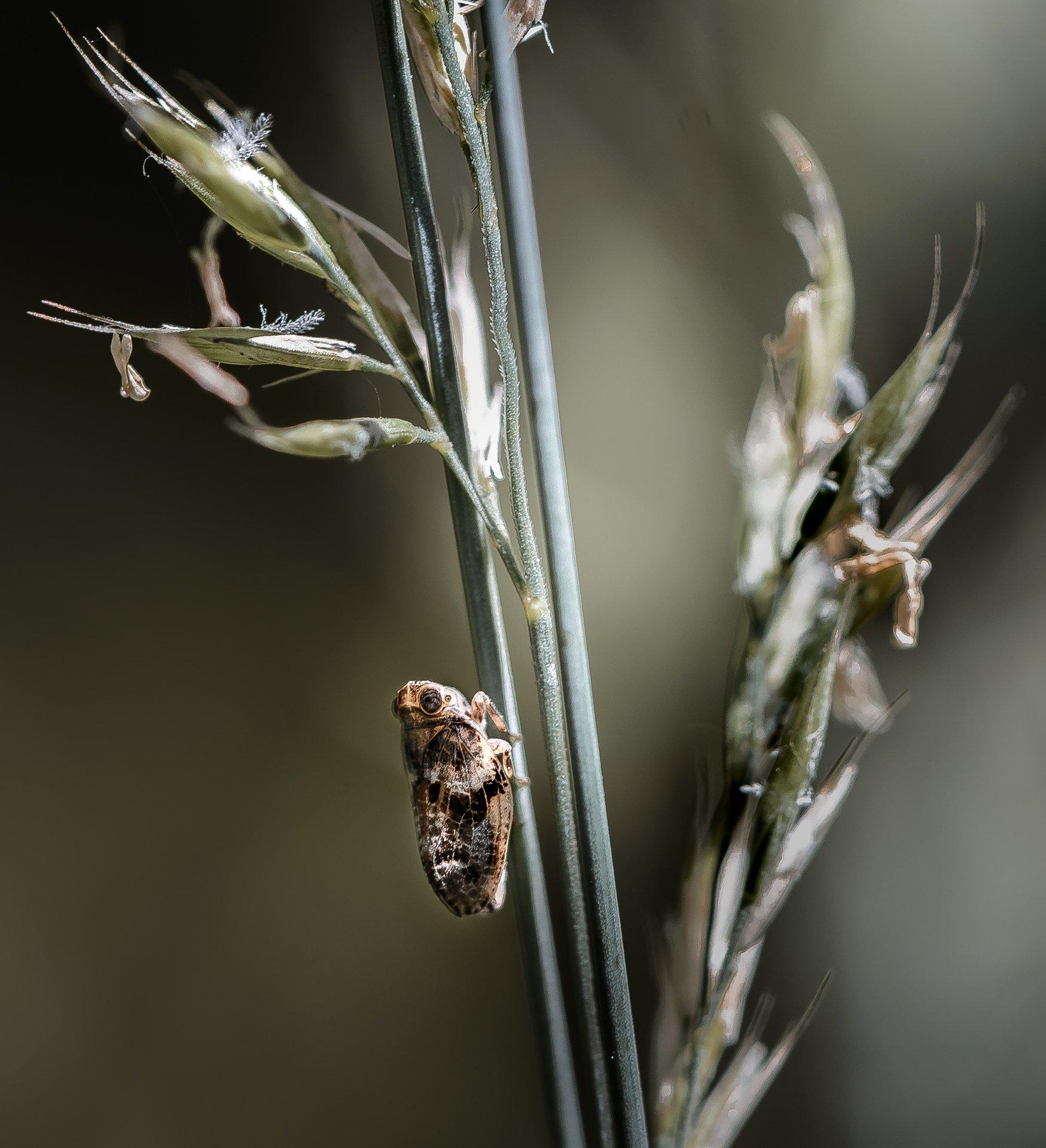 природа, макро, насекомое, цикадка, Неля Рачкова