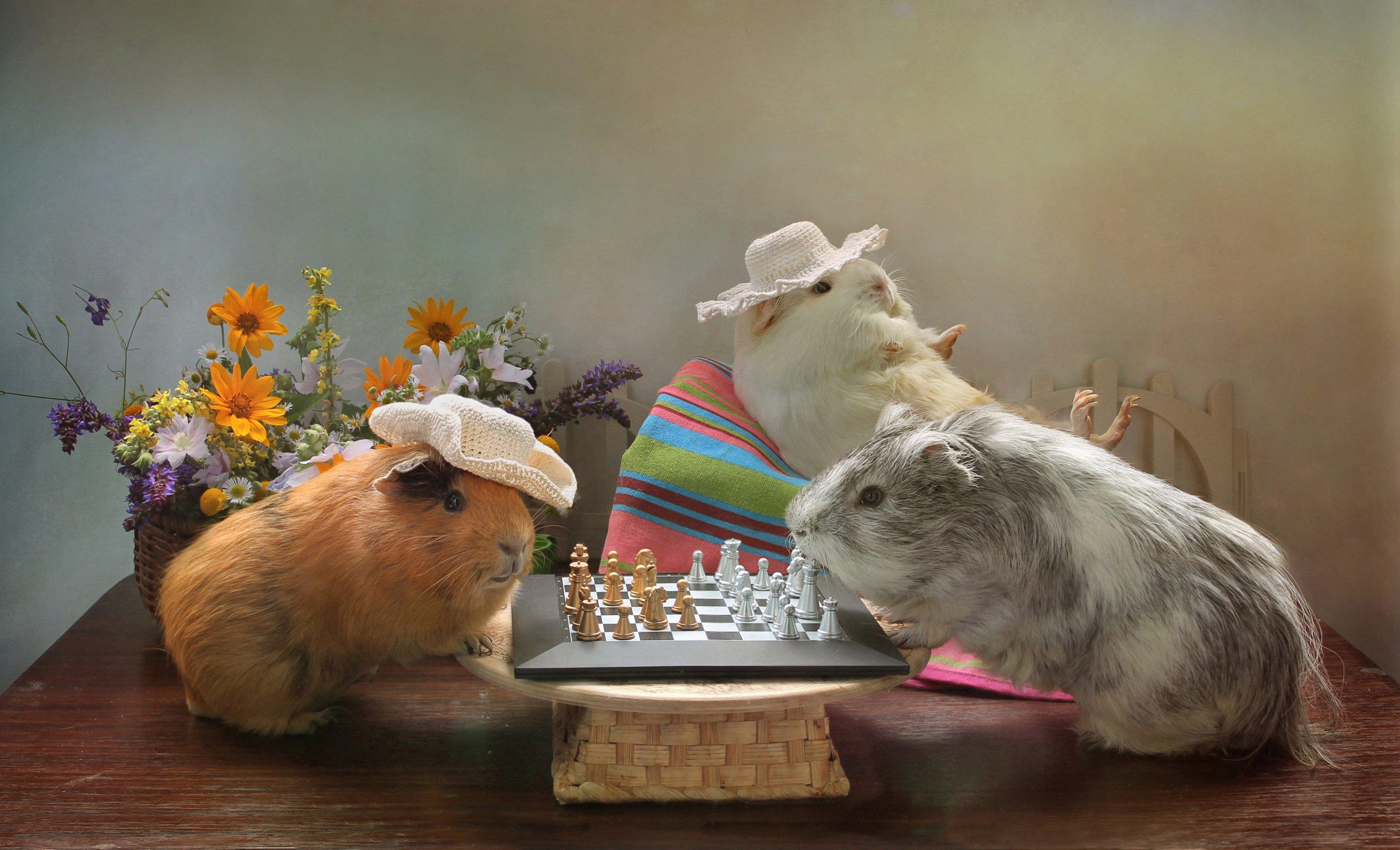 композиция, животные, морские свинки, лето, шахматы, дачные истории, Ковалева Светлана