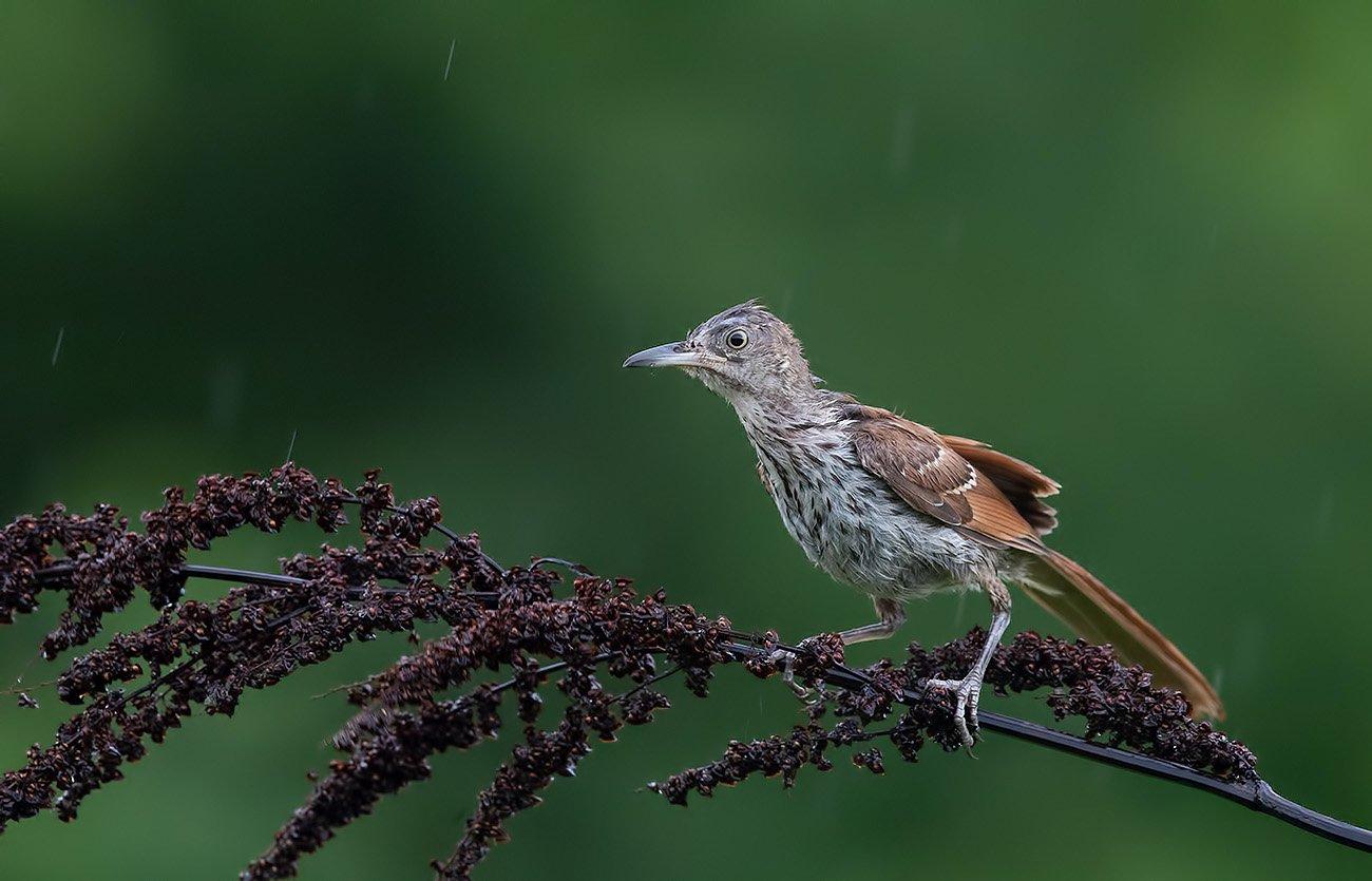 коричневый пересмешник, brown thrasher, пересмешник, Elizabeth E