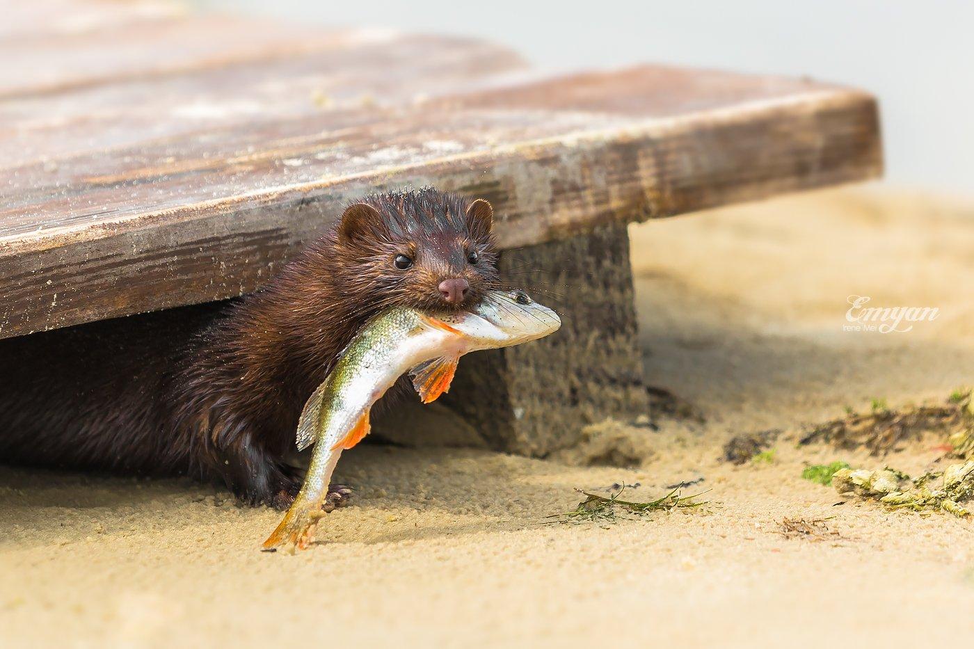 природа, норка, животные, рыба, окунь, улов, nature, european mink, mustela lutreola, Emyan