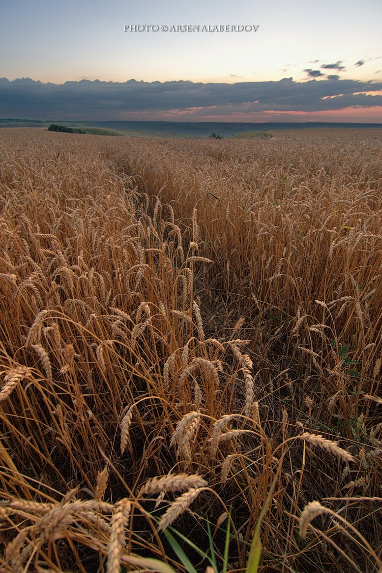 весна, поле, холмы, равнина, долина, утро, вечер, карачаево-черкесия, кавказ, простор, закат, поле, пшеница, рожь, АрсенАл