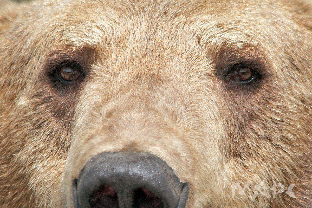 животные медведь сафарипарк, Шангареев Марс