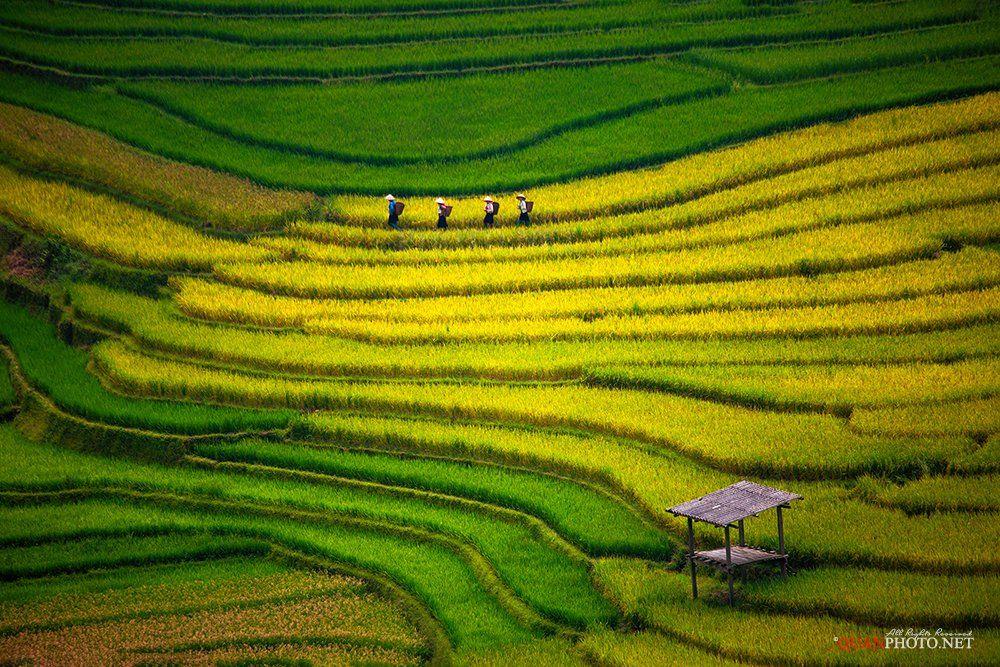 quanphoto, landscape, rice, terraces, golden, harvest, farmland, agriculture, panorama, vietnam, rural, people, woman, culture, quanphoto
