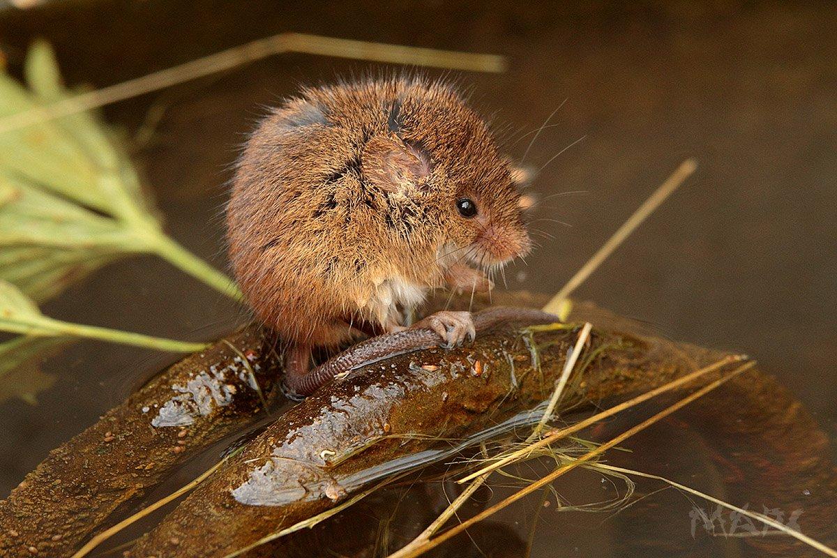 животные мышь грызун вода, Шангареев Марс