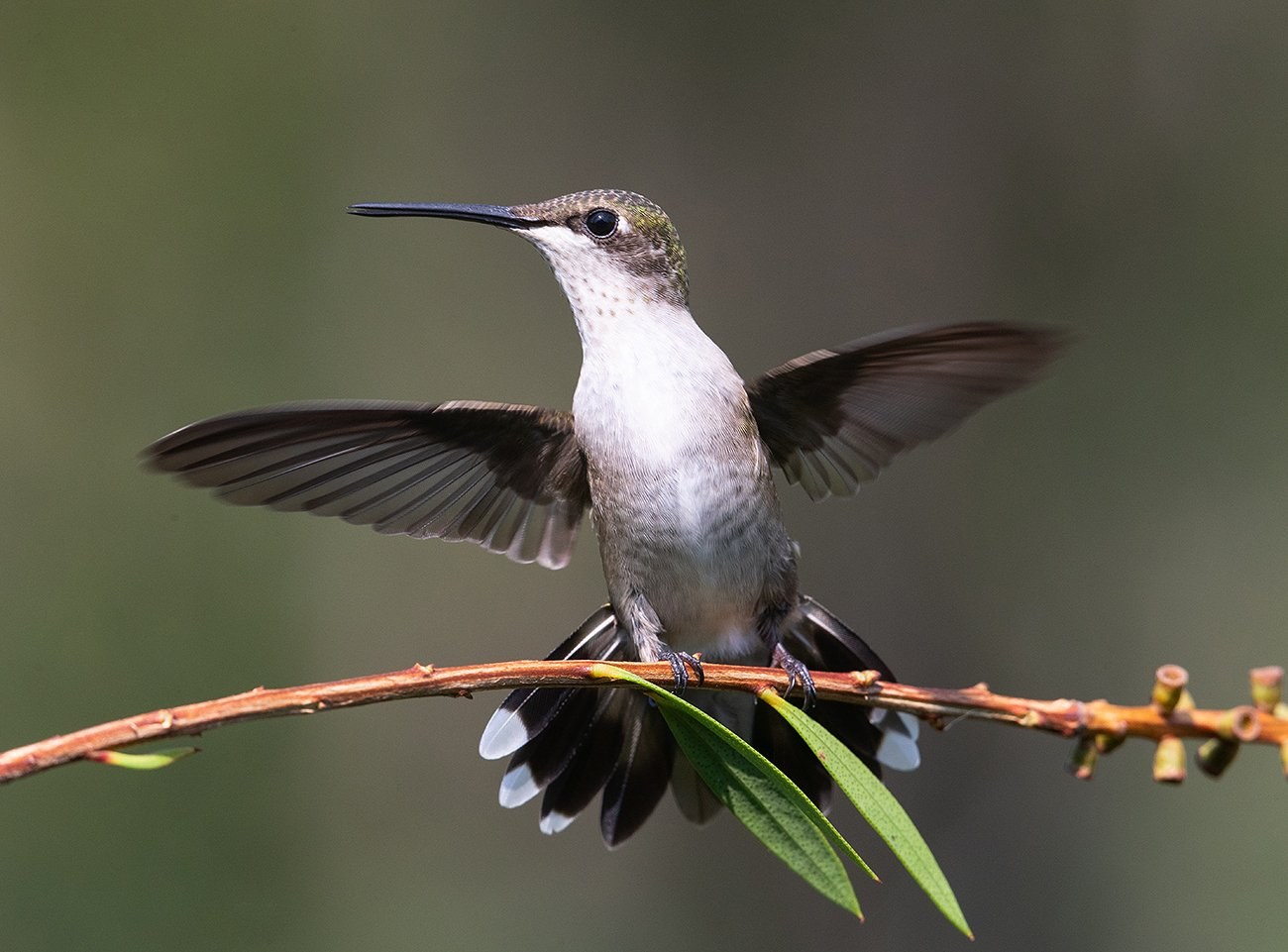 колибри, ruby-throated hummingbird, hummingbird, Elizabeth E