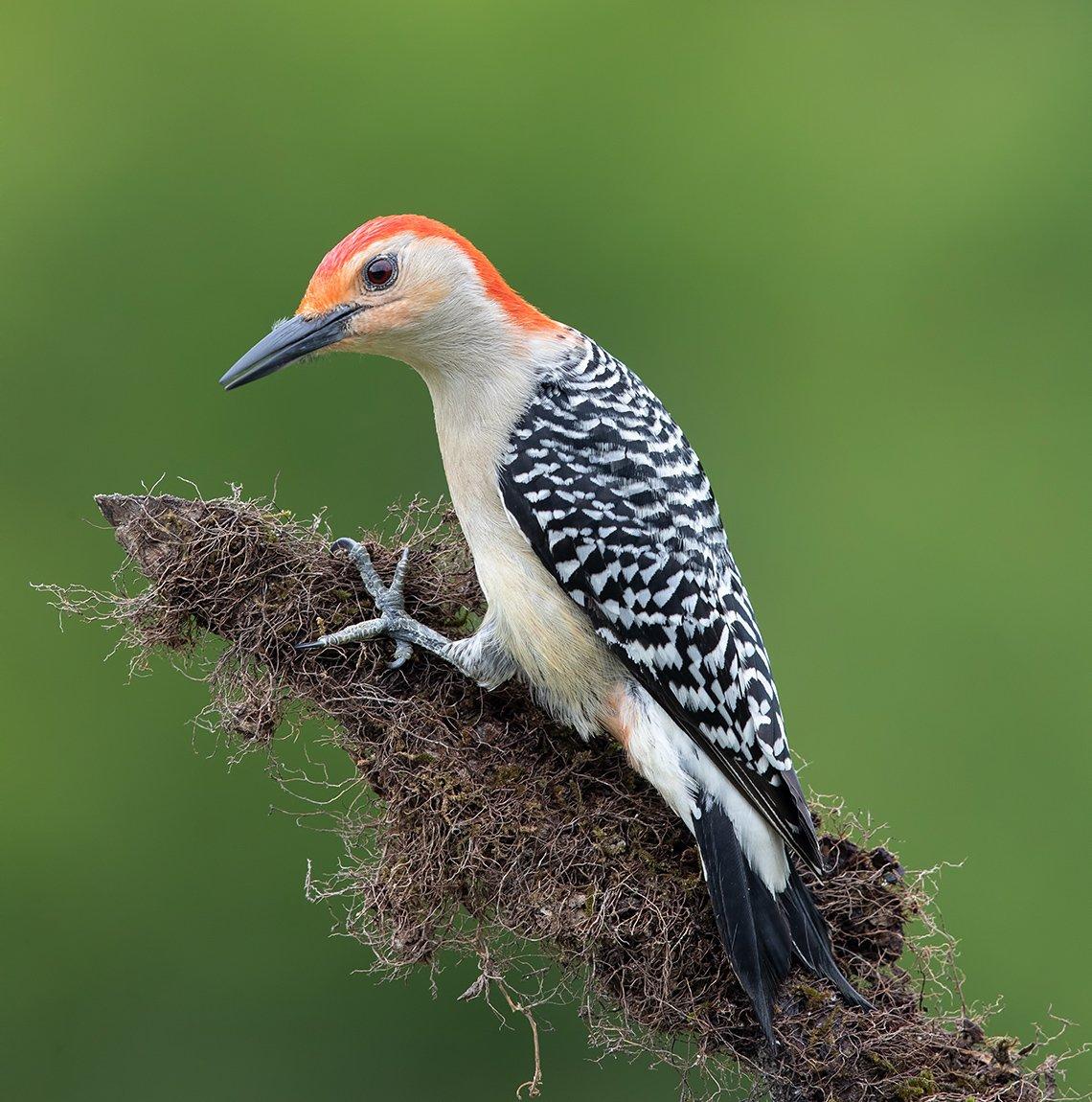 дятел, каролинский меланерпес, red-bellied woodpecker, woodpecker, Elizabeth E