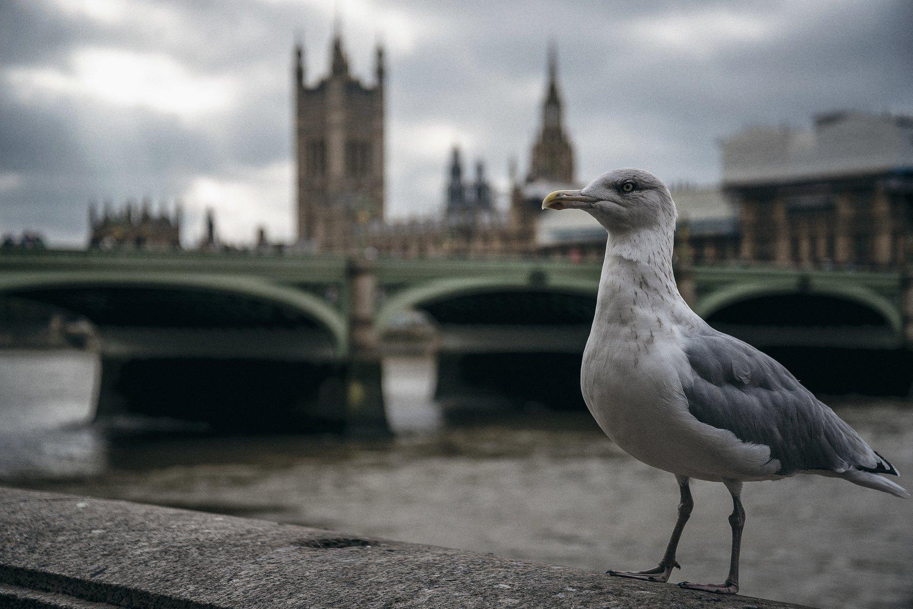лондон, великобритания, мост, чайка, птица, Алексей Ермаков