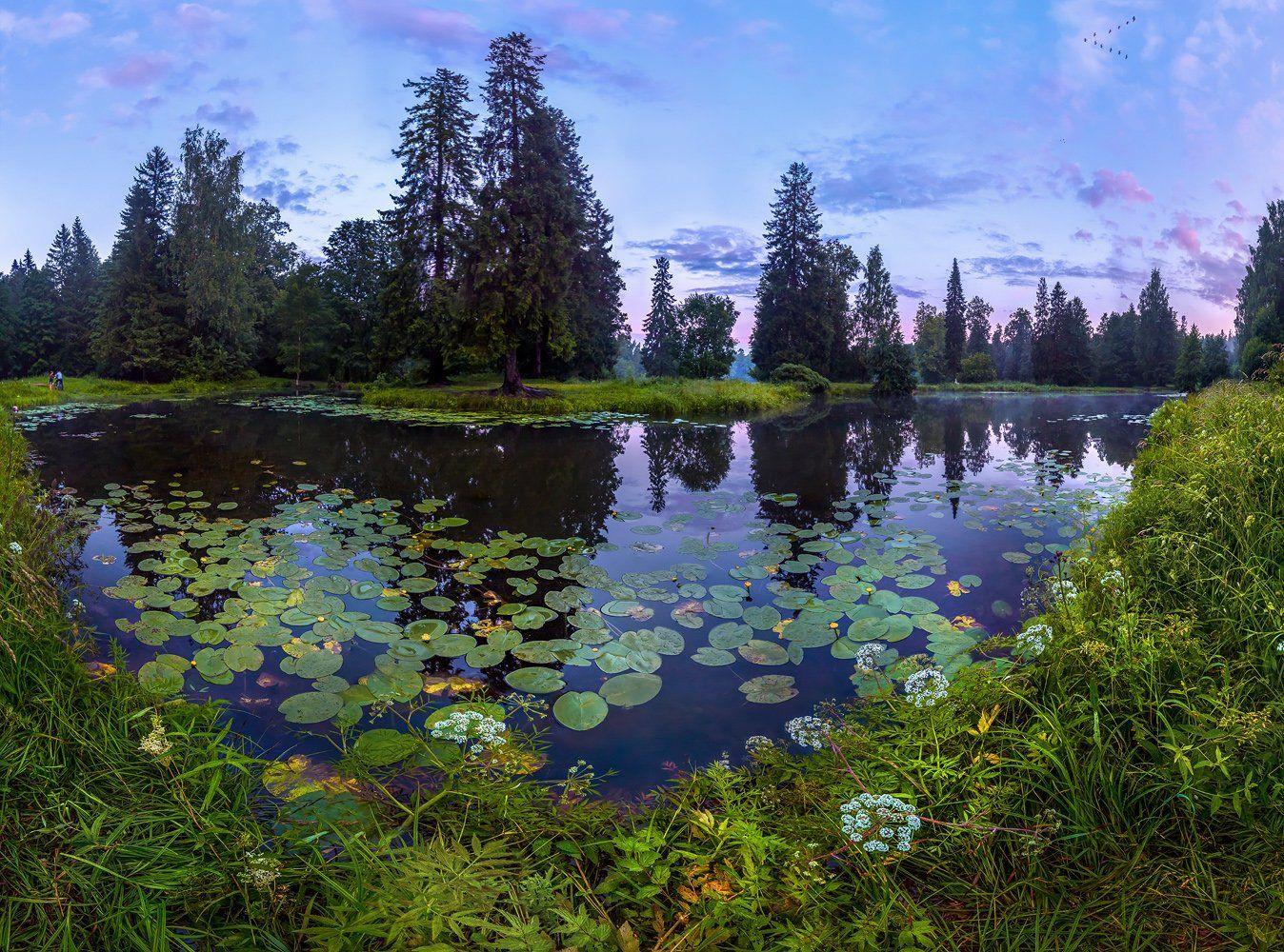 ленинградская область, парк, лето, пруд, шувалово, сумерки, деревья, кувшинки, листья, водоём, ель, небо, Лашков Фёдор