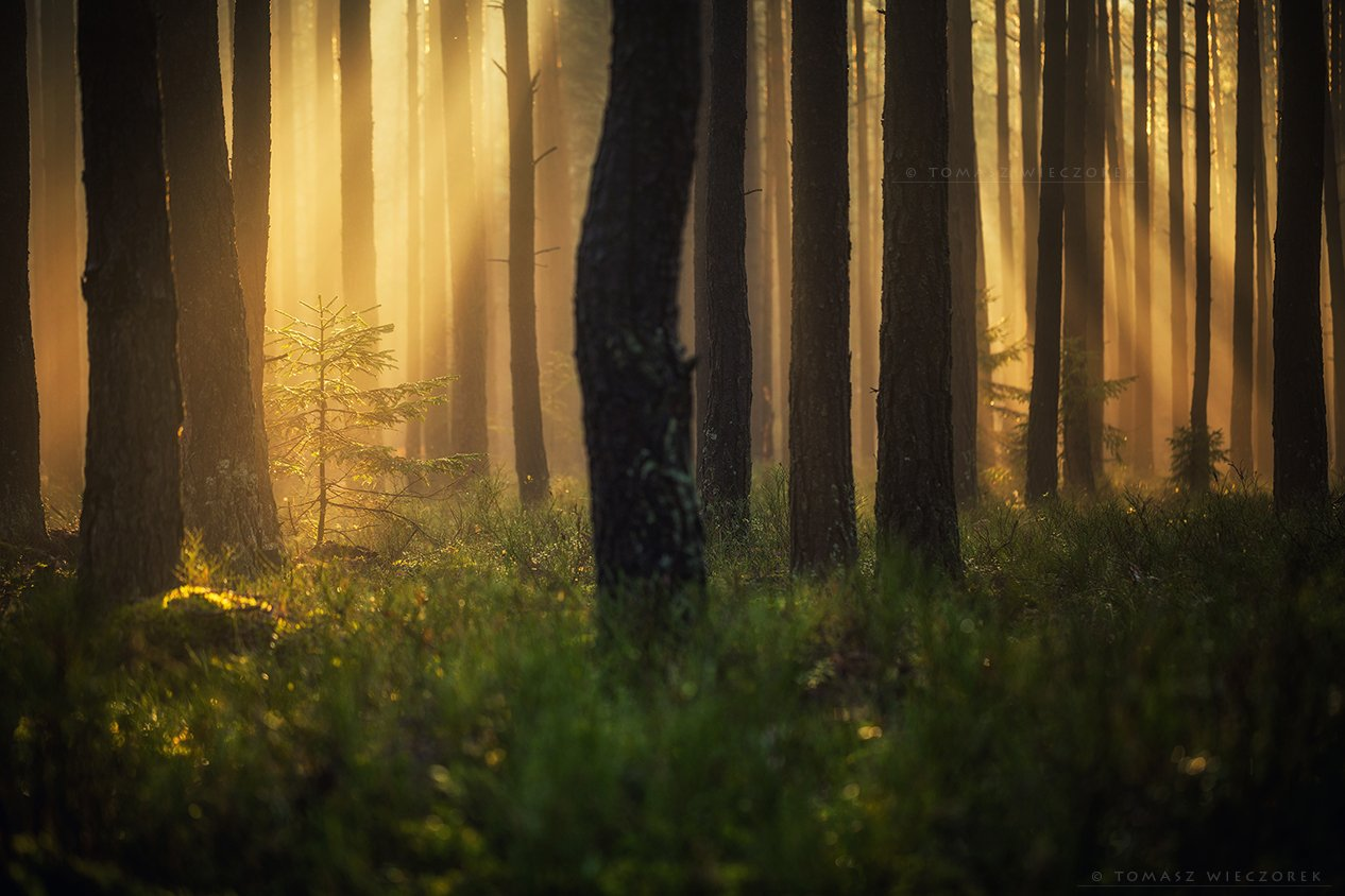forest, poland, polish, landscape, mushroom, trees, light, awesome, shadows, fog, mist, beautiful, growing, Tomasz Wieczorek
