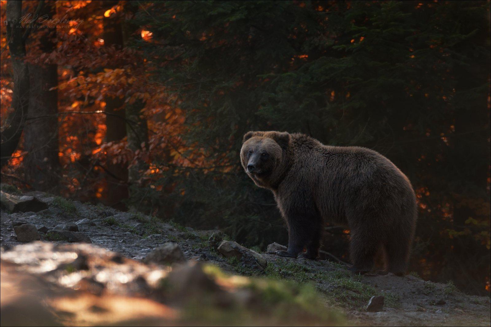 карпаты, синевир, бурый медведь, центр реабилитации бурого медведя, осень, bear, Влад Соколовский