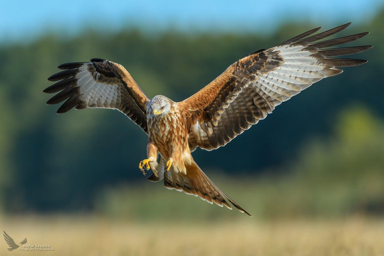 red kite, birds, nature, animals, wildlife, colors, meadow, flight, nikon, nikkor, lens, lubuskie, poland, Rafał