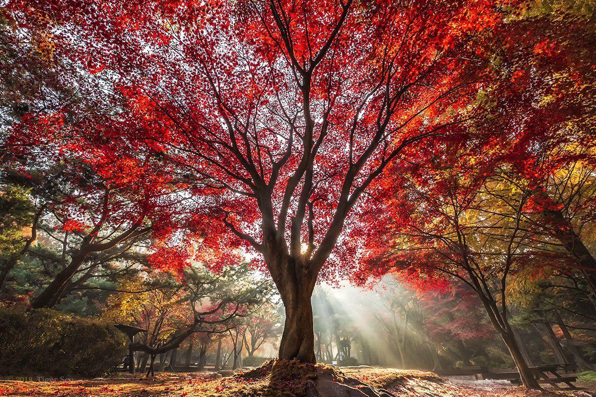 red tree foliage rays sunlight light autumn color landscape travel Korea, Tiger Seo