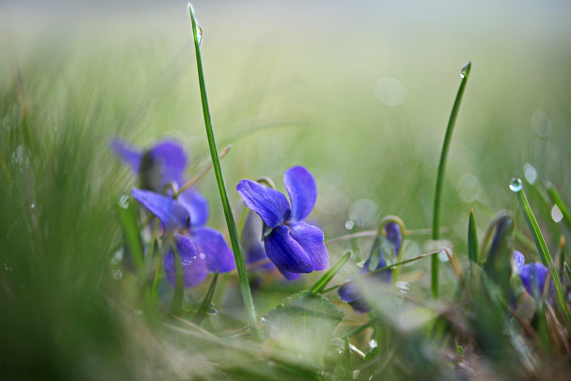природа, макро, весна, цветы, фиалка, Неля Рачкова