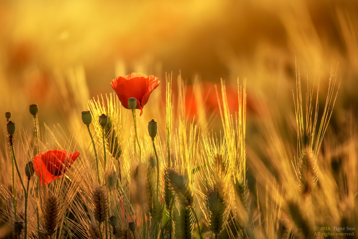 poppy barley flower nature light sunset macro Korea , Tiger Seo