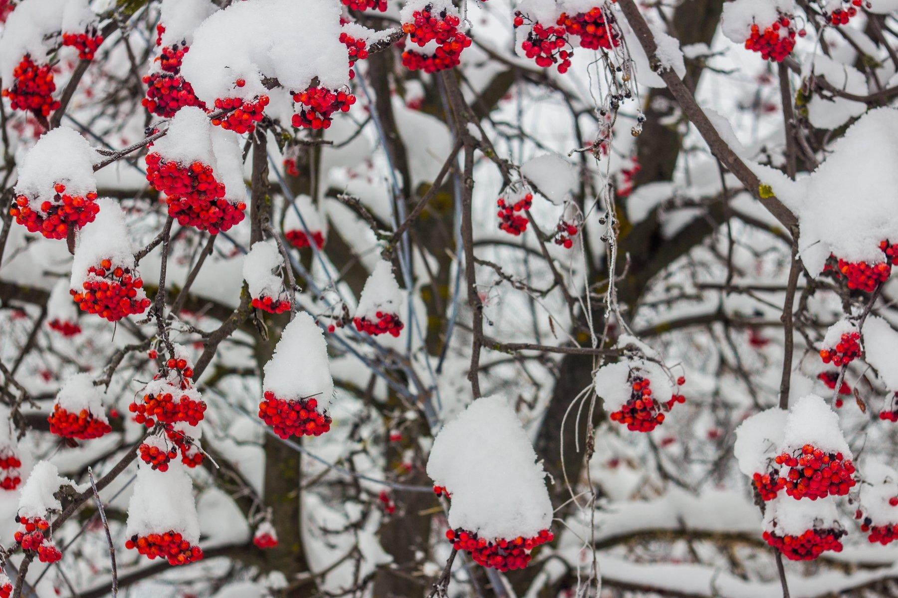 рябина, снег, зима, Руслан Востриков