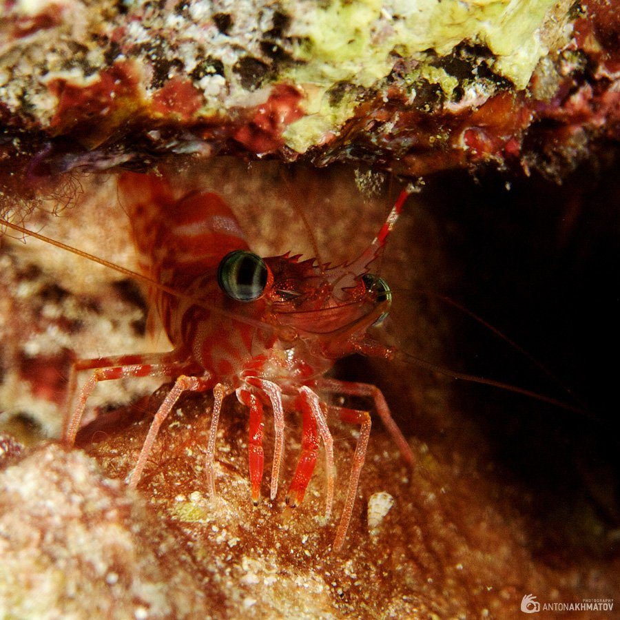 shrimp, underwater, similan islands, red, Anton Akhmatov