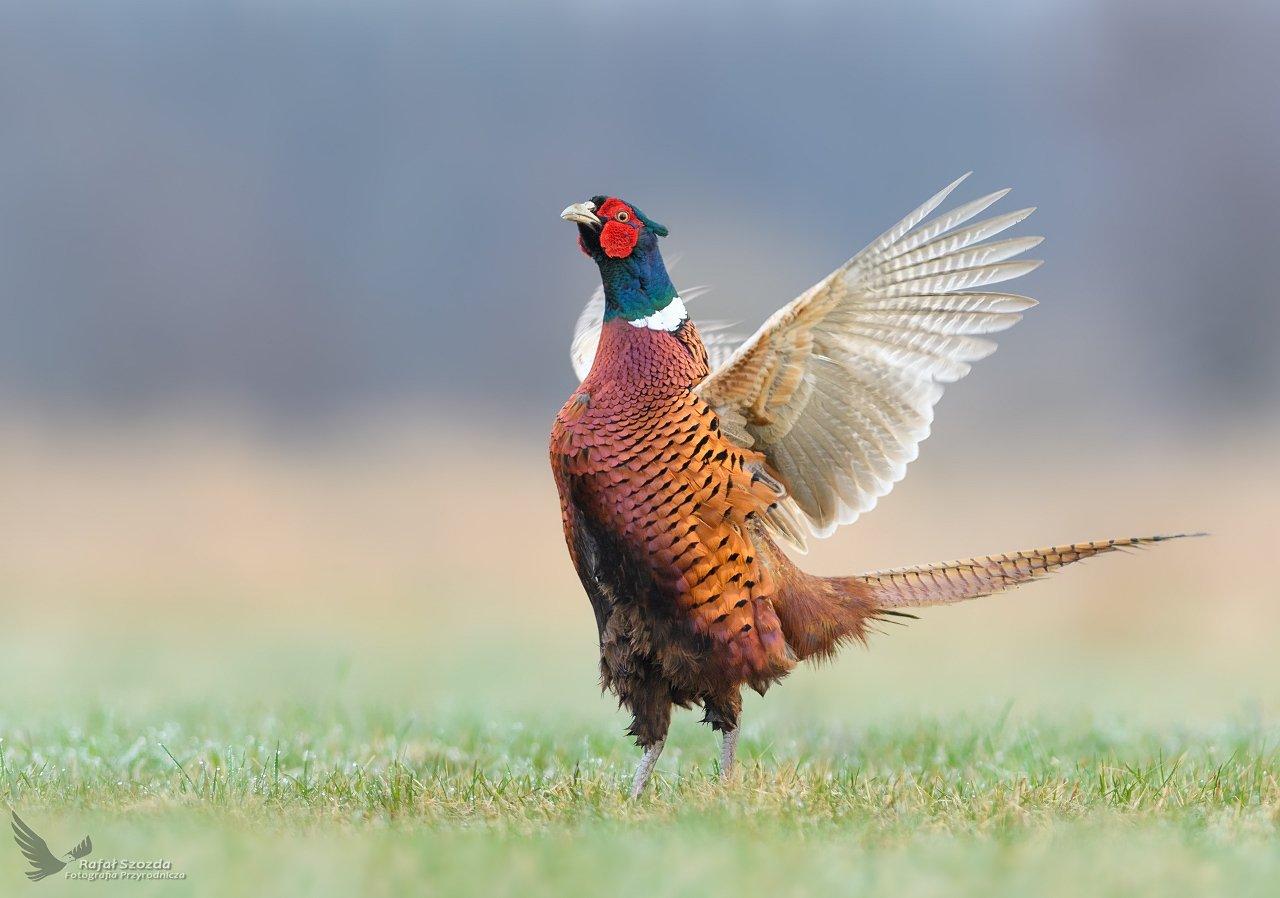 birds, nature, animals, wildlife, colors, meadow, spring, love, nikon, nikkor, lens, lubuskie, poland, Szozda Rafał