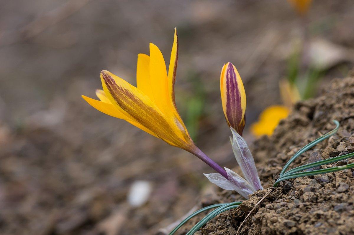 природа, макро, растения, цветы, крокусы, крокус тонколистный, Александр Земляной