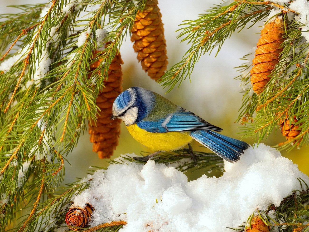 природа, фотоохота, лазоревка обыкновенная, ель,птицы, животные,дерево,снег, зима, vladilenoff