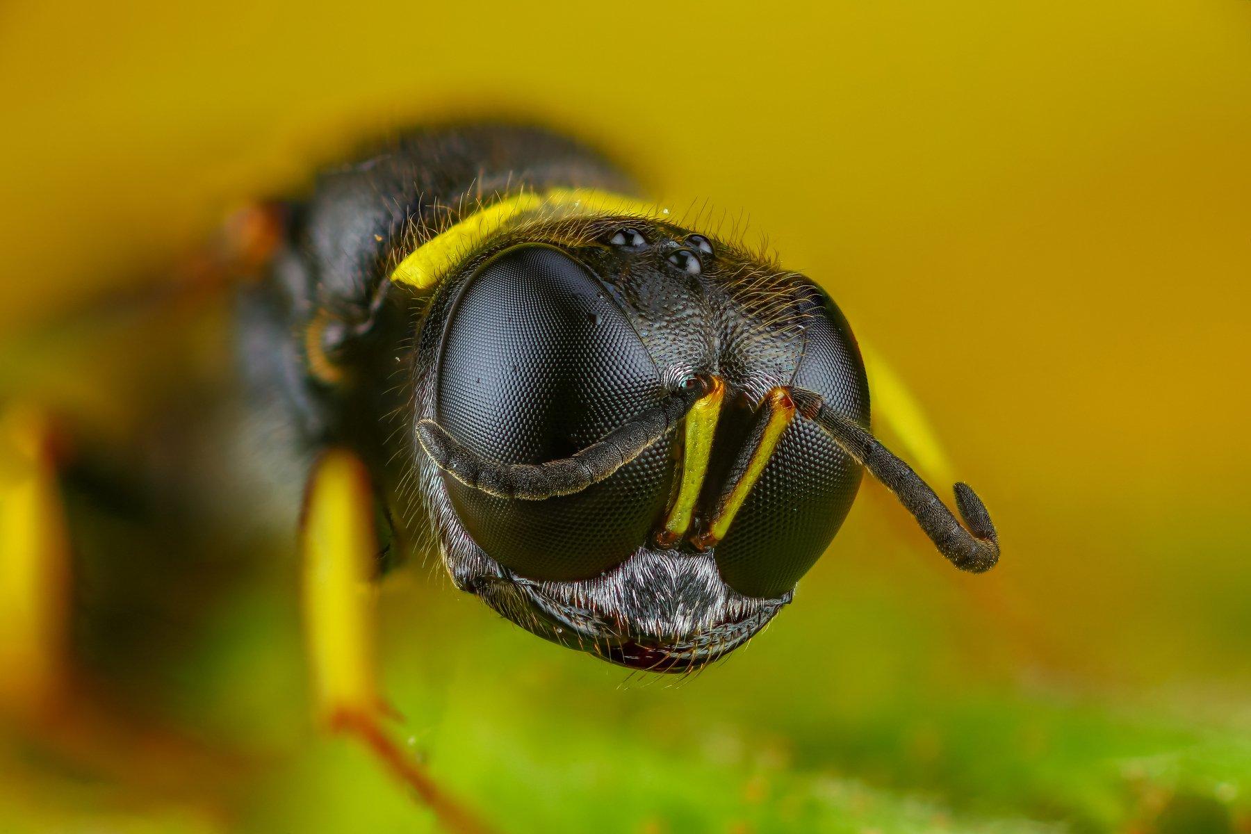 макро оса насекомое животное зеленый портрет желтый, Шаповалов Андрей