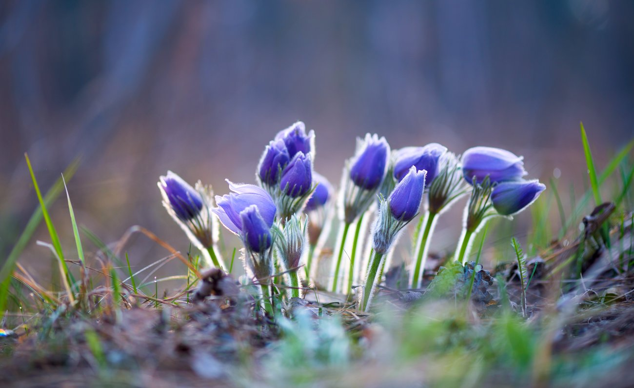 весна, цветы, сон-, трава, Галанзовская Оксана