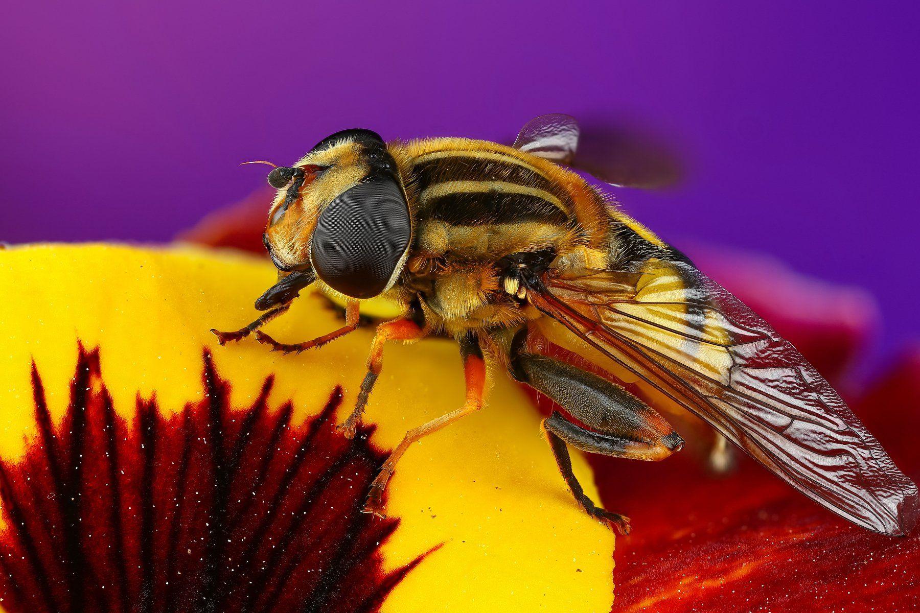 макро муха насекомое животное зеленый фиолетовый цветок, Шаповалов Андрей