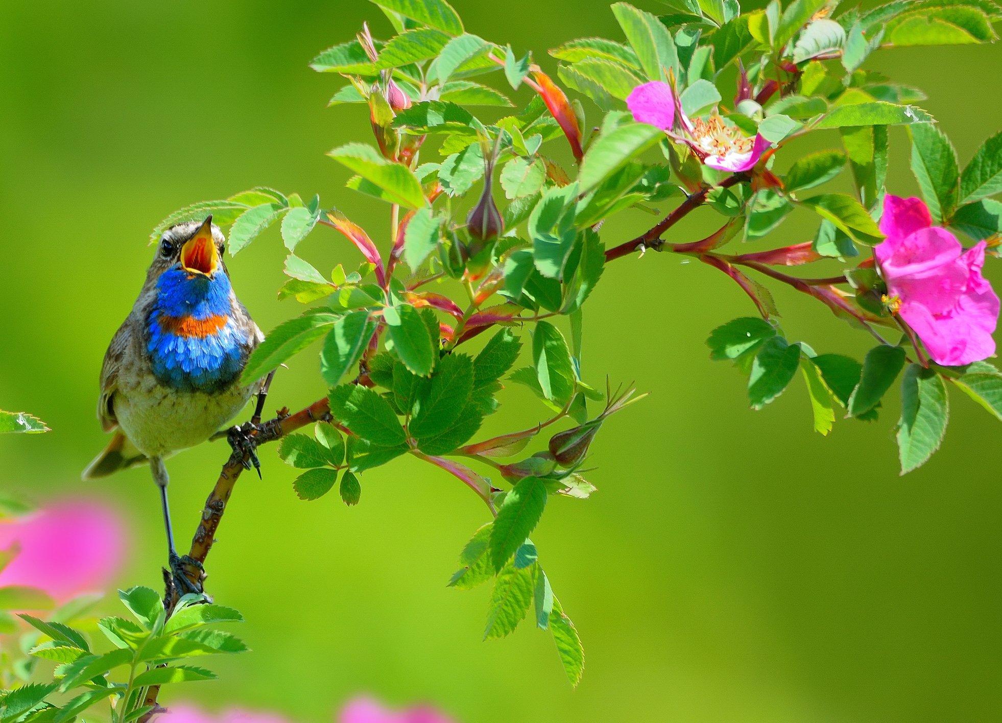 природа, фотоохота, варакушка, птицы, животные, цветы, лето, vladilenoff