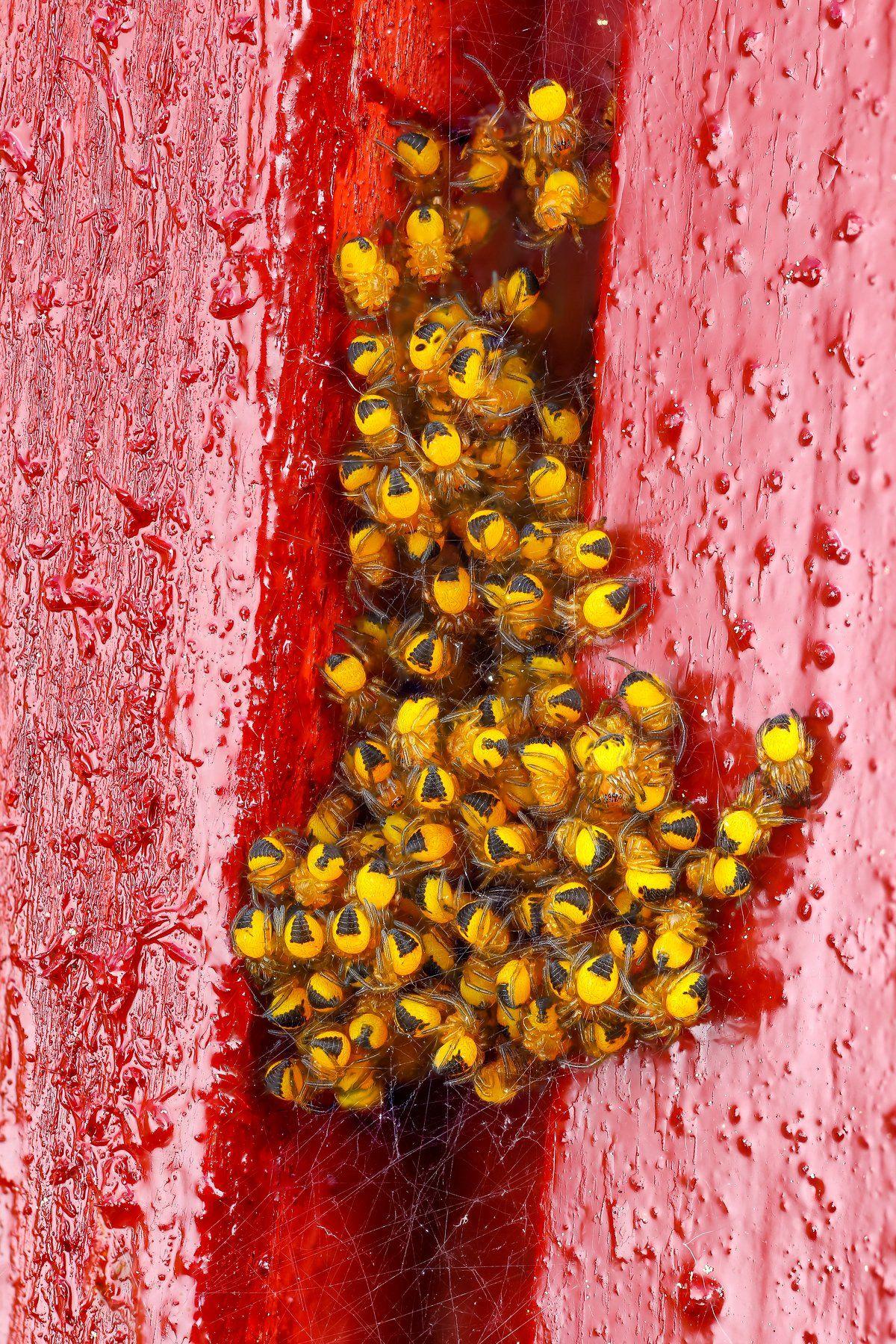 макро паук насекомое животное желтый красный, Шаповалов Андрей